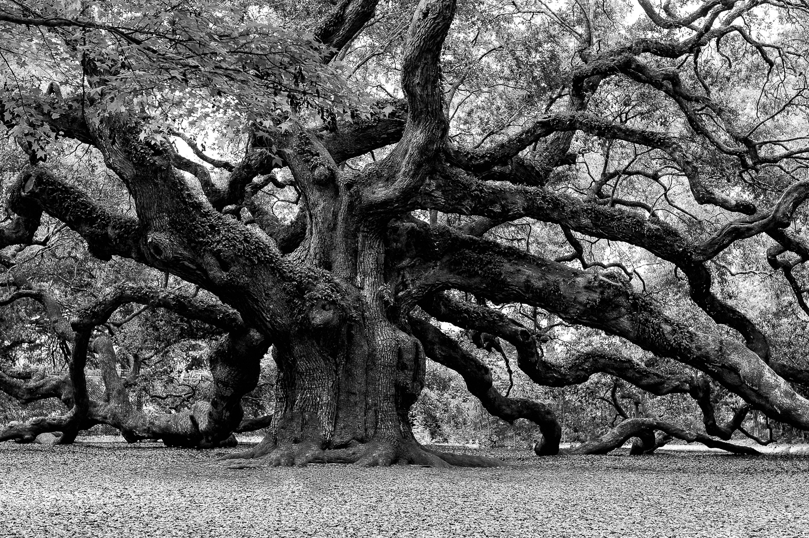 More angel oak tree