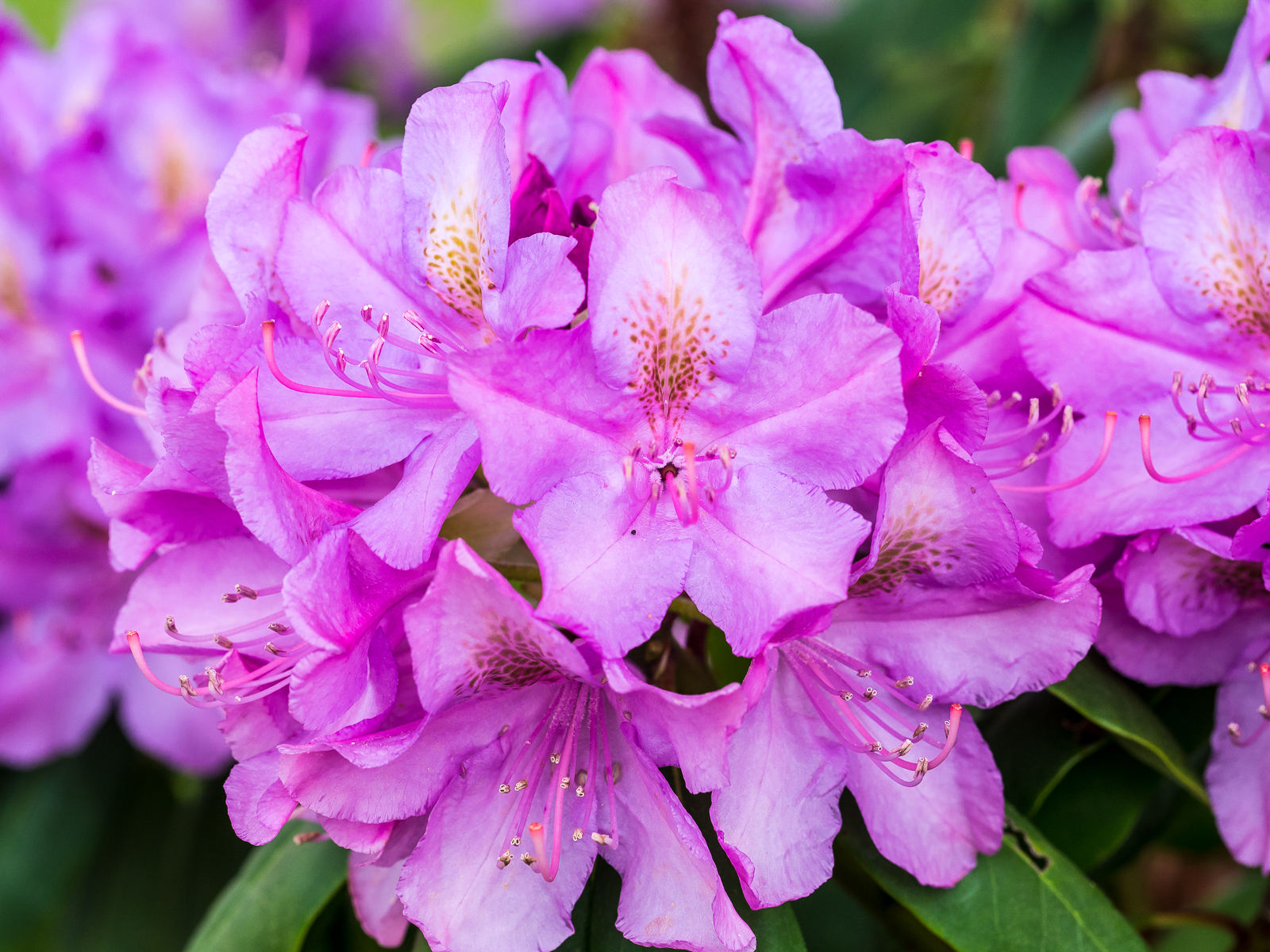 rhododendron-5806
