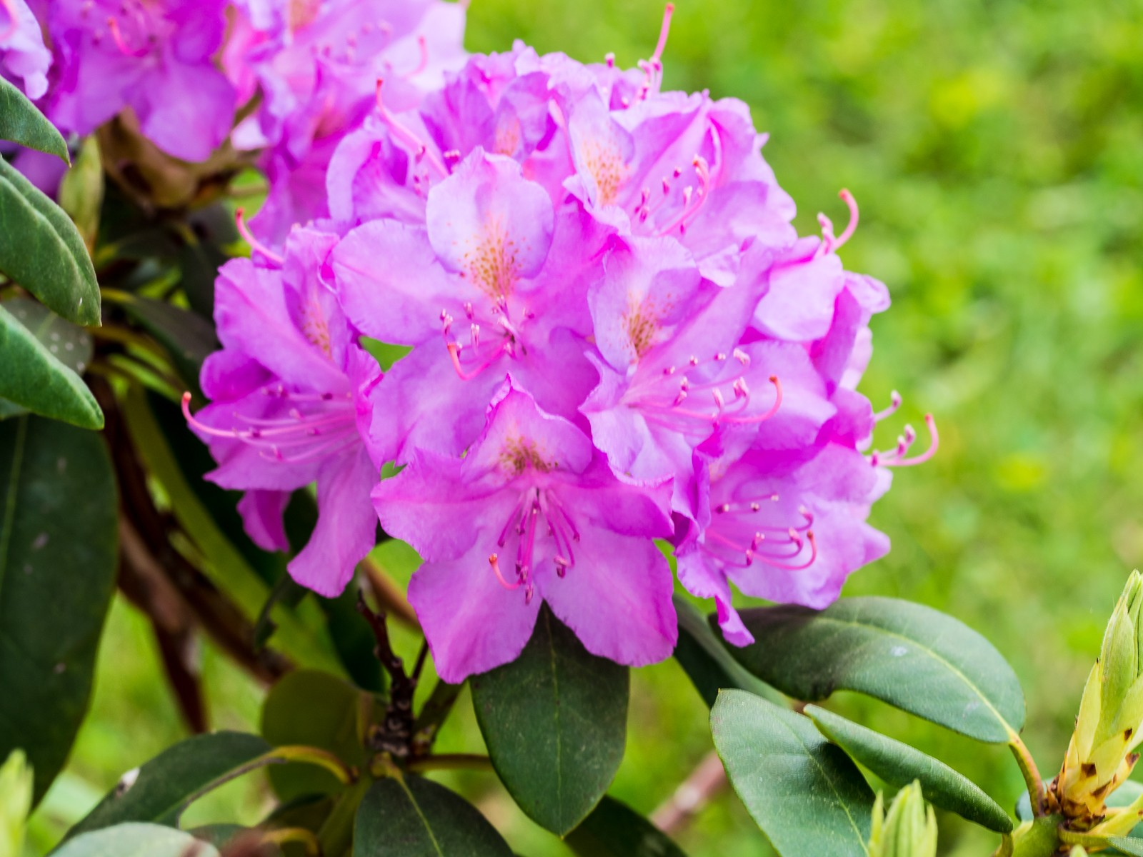 rhododendron-5812