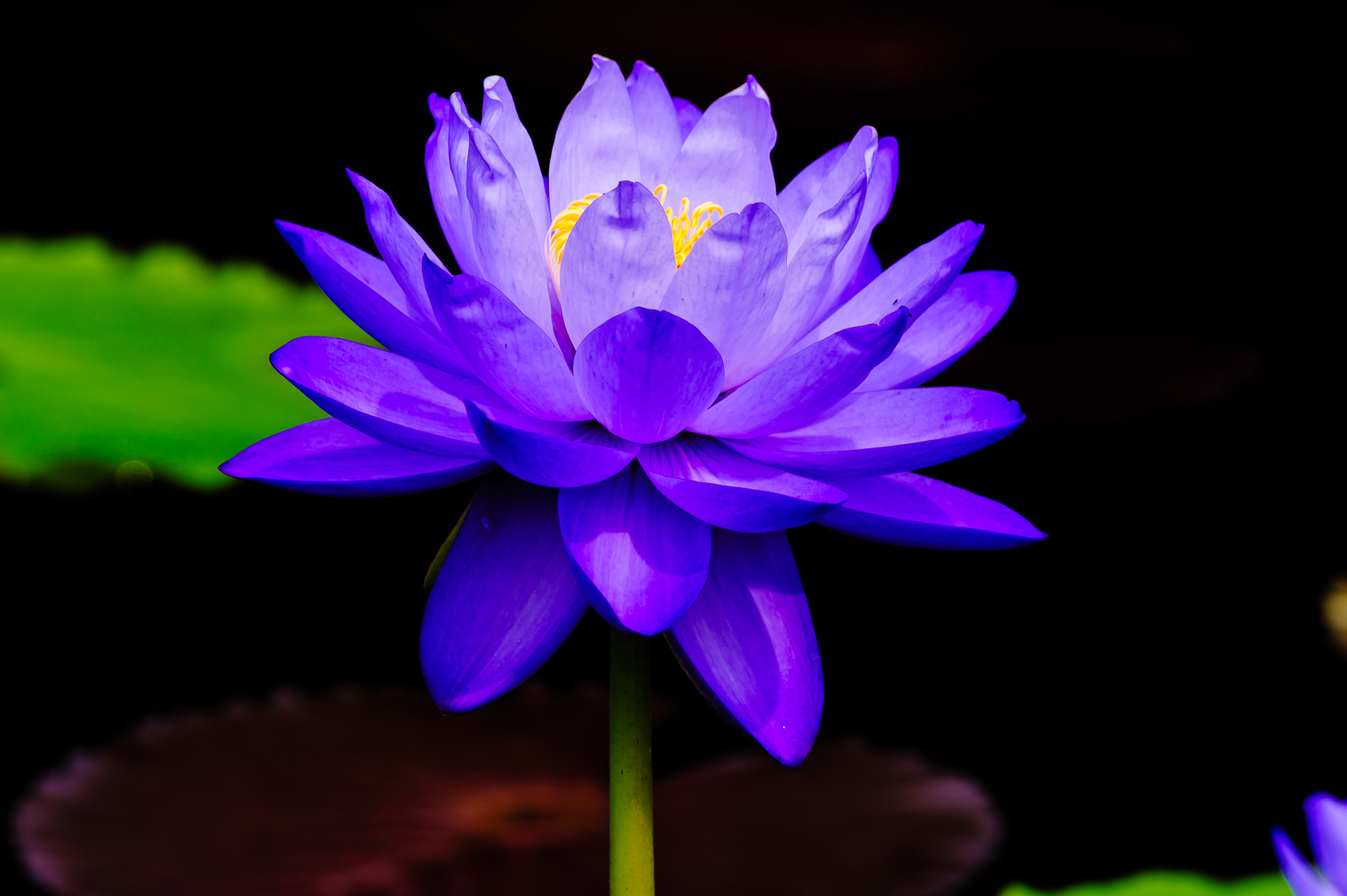 purple-water-lily-0129