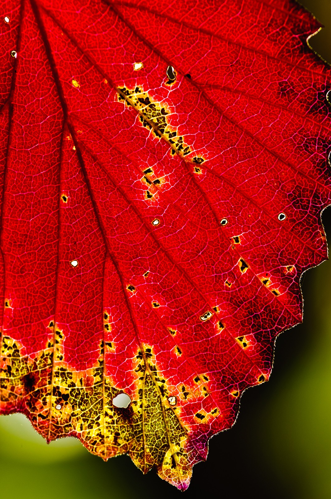 red-leaves-2618