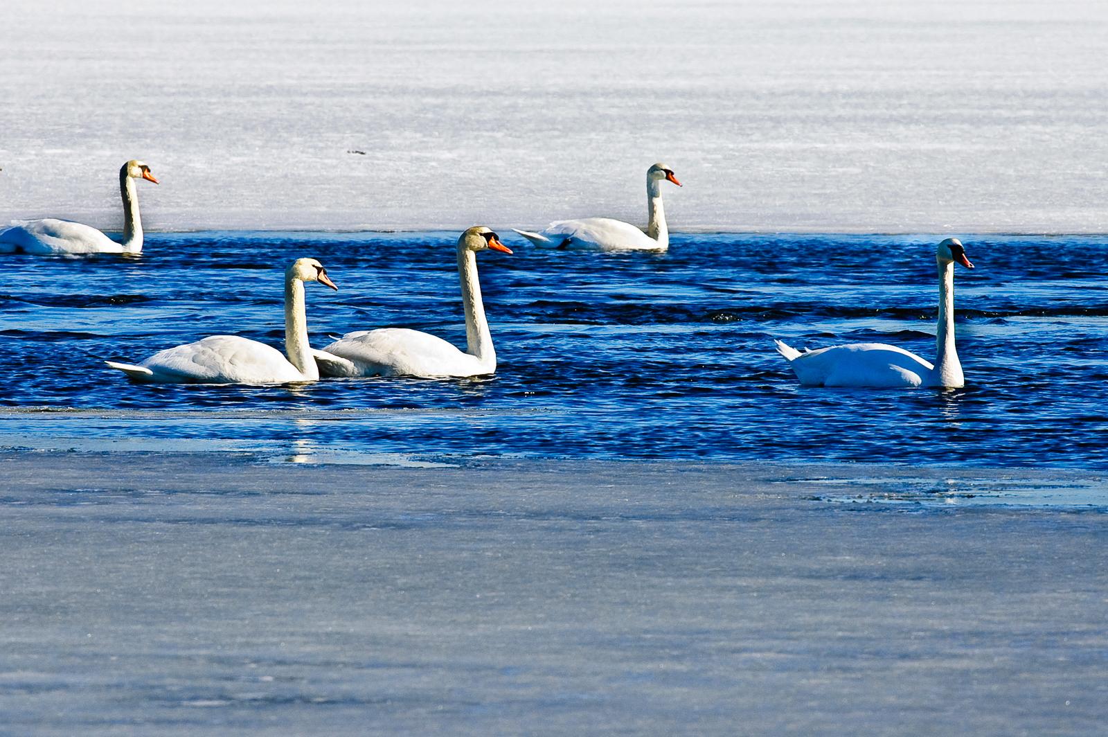 white-swans-1276