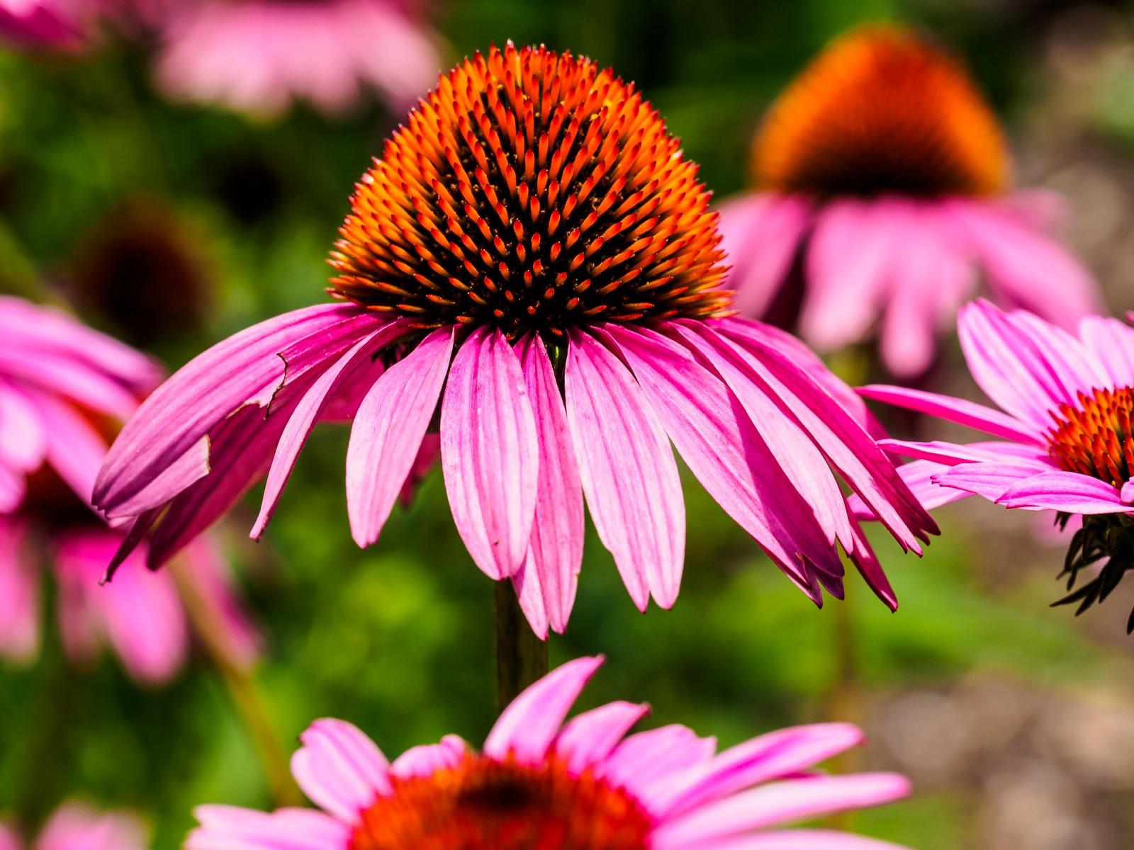 echinacea-pink-6145