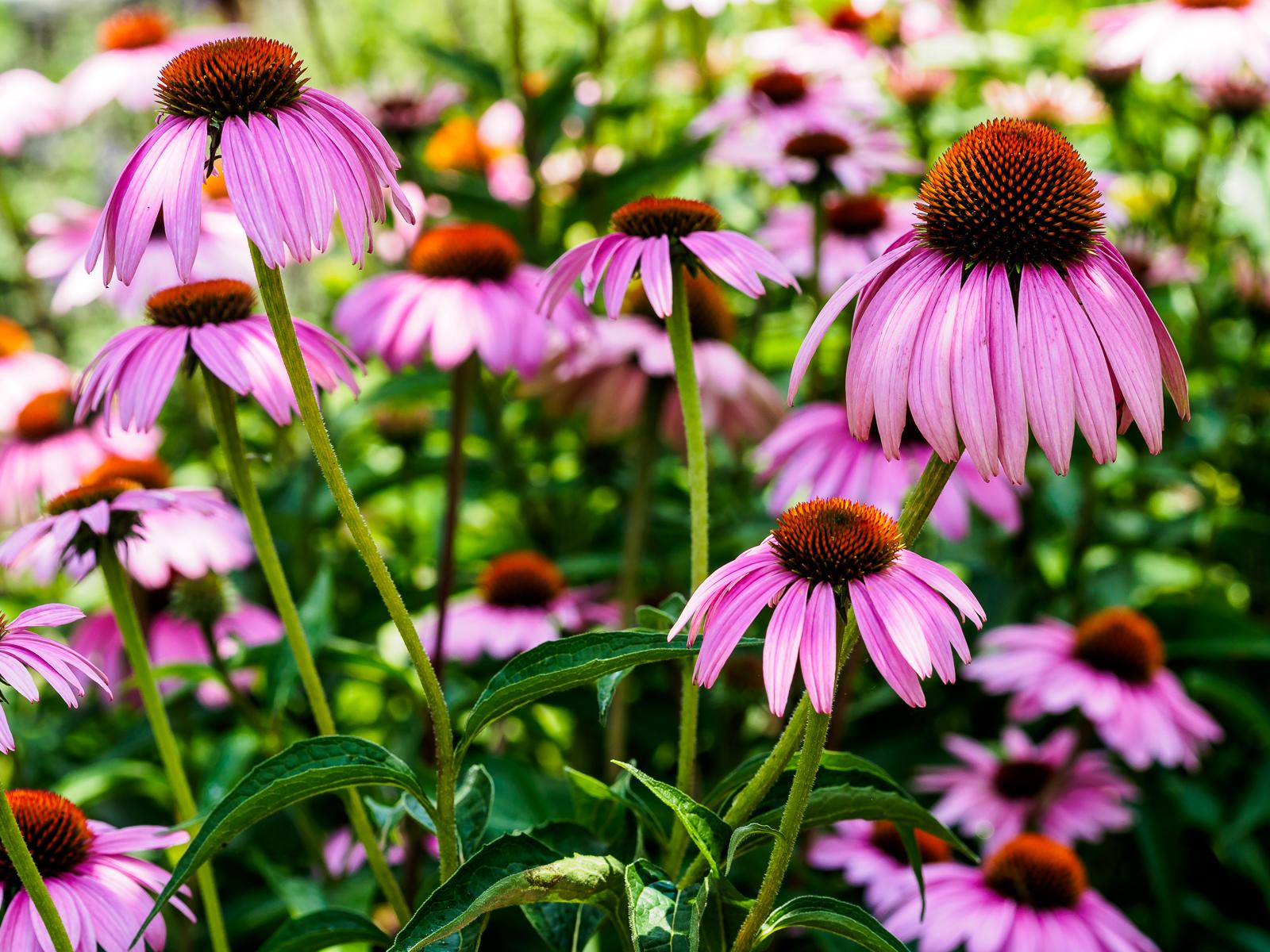 echinacea-pink-6148