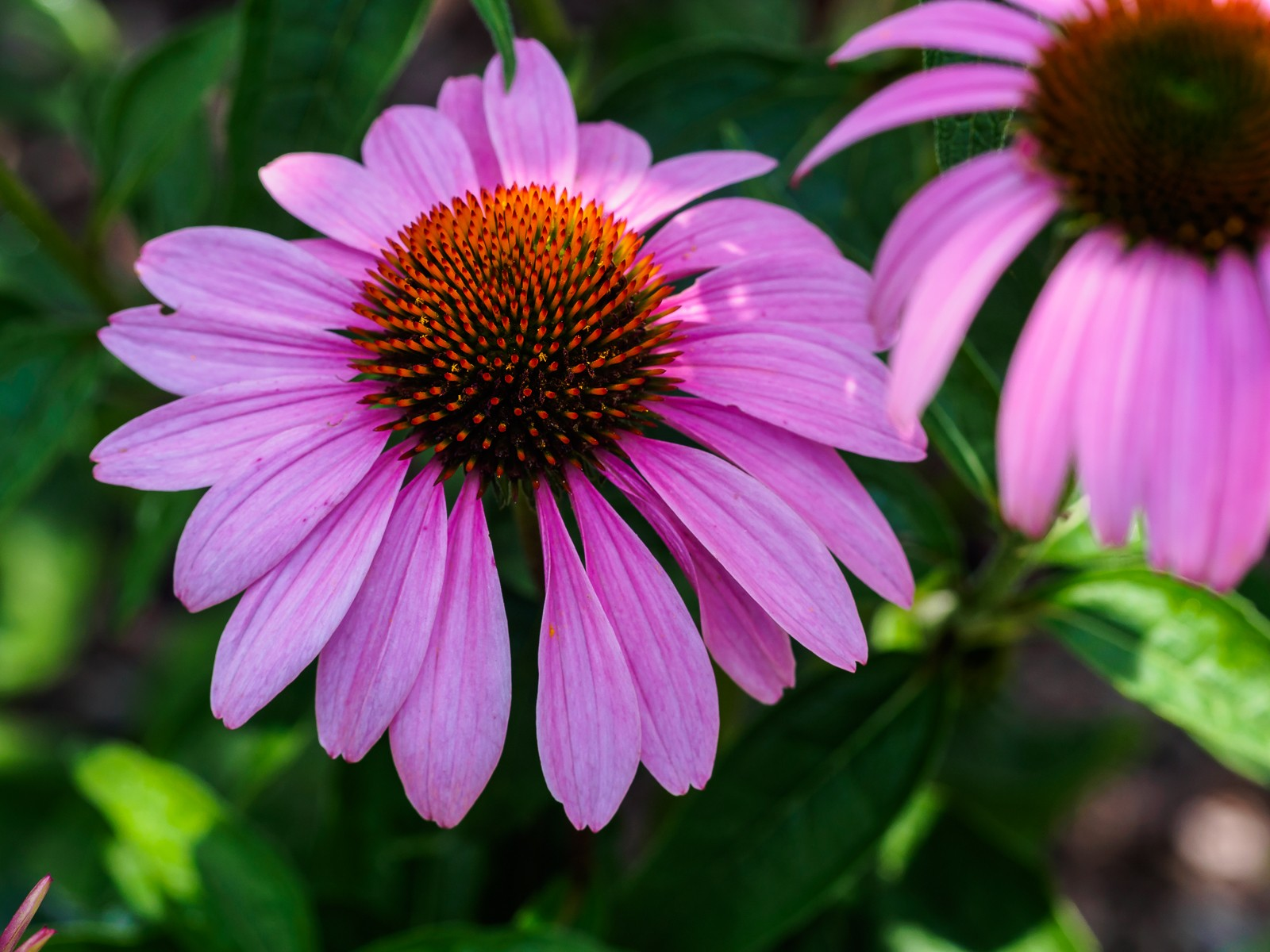echinacea-pink-6149