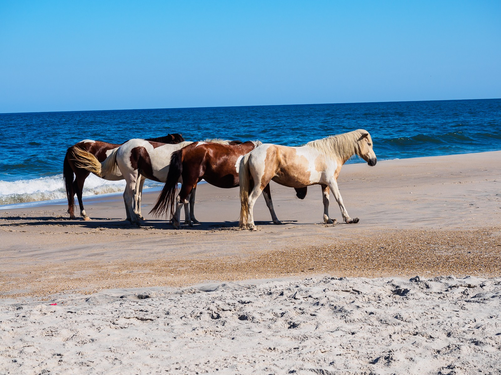 horses-assateague-6248