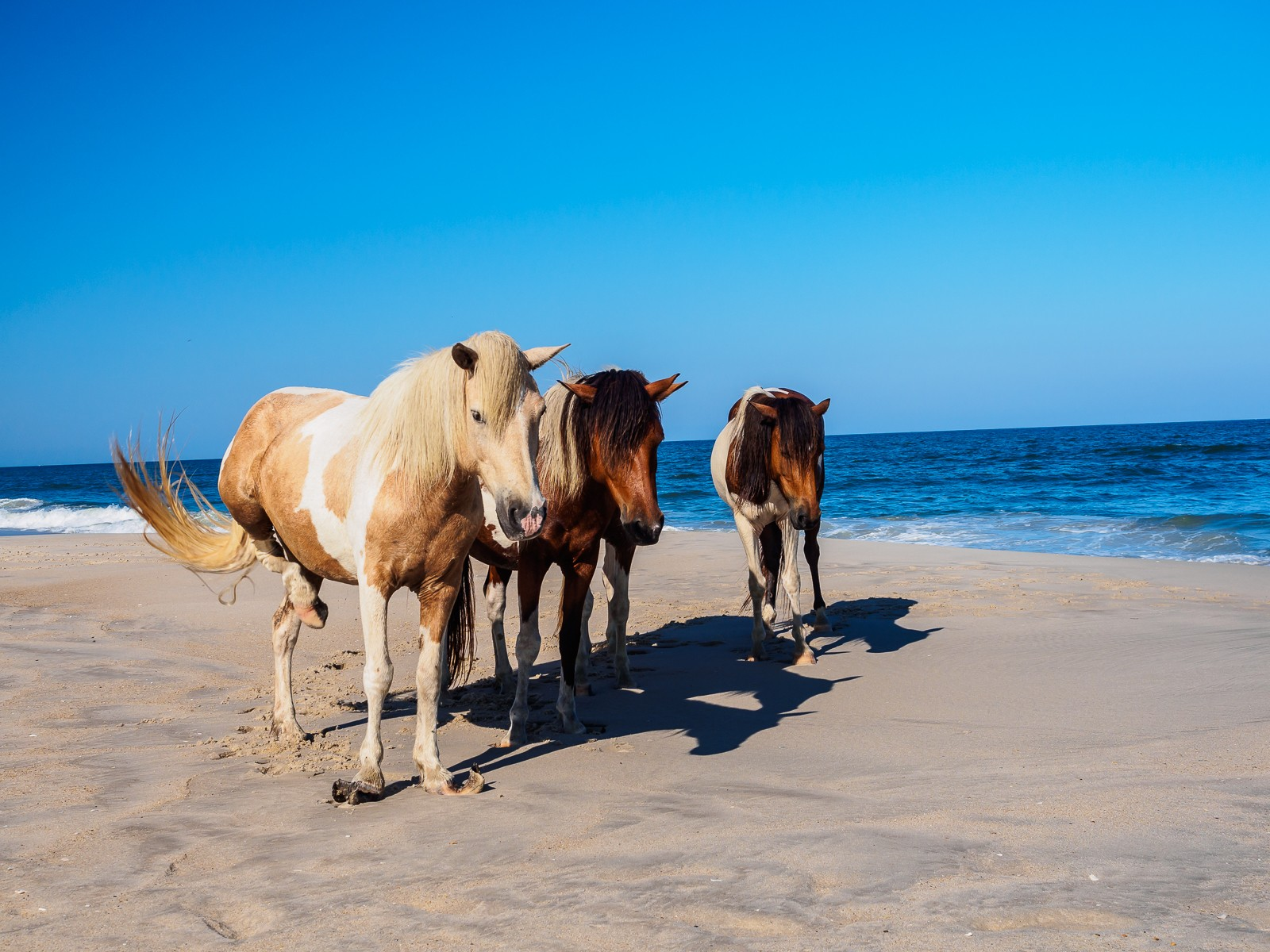 horses-assateague-6252