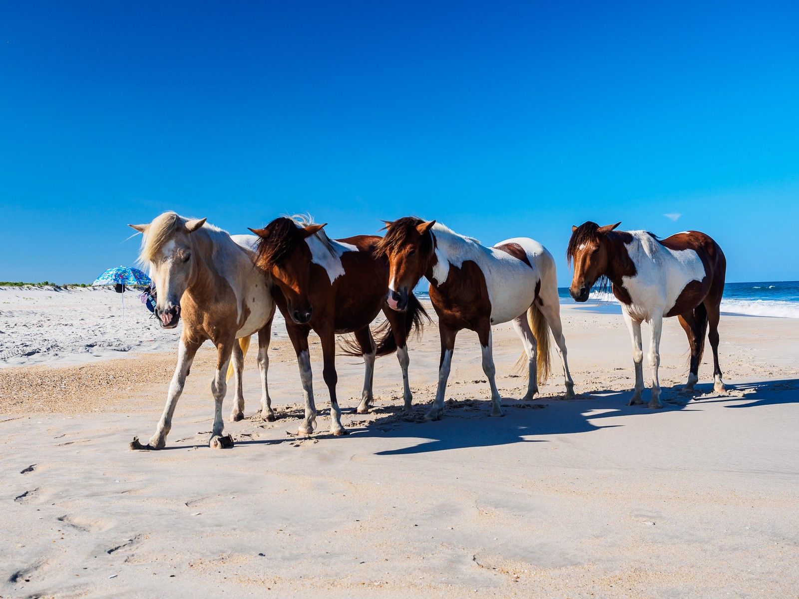 Wild Horses Virginia Beach
