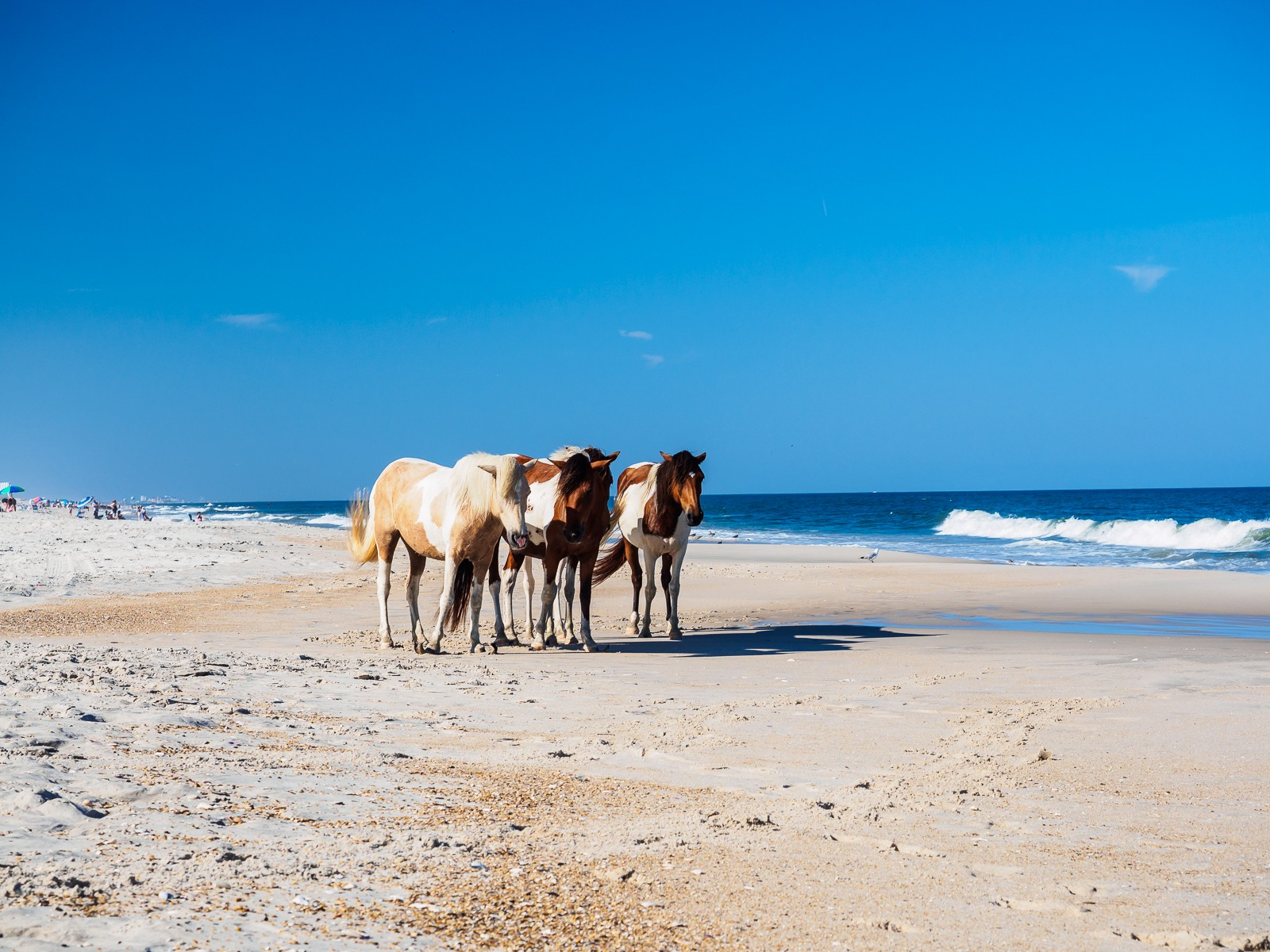 horses-assateague-6266
