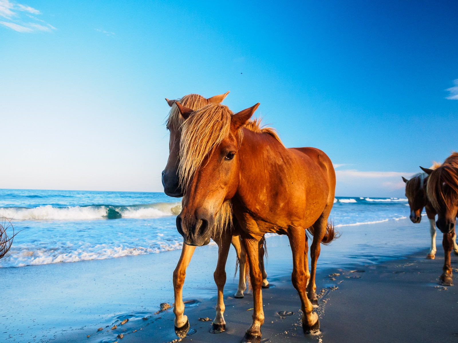 horses-assateague-6331