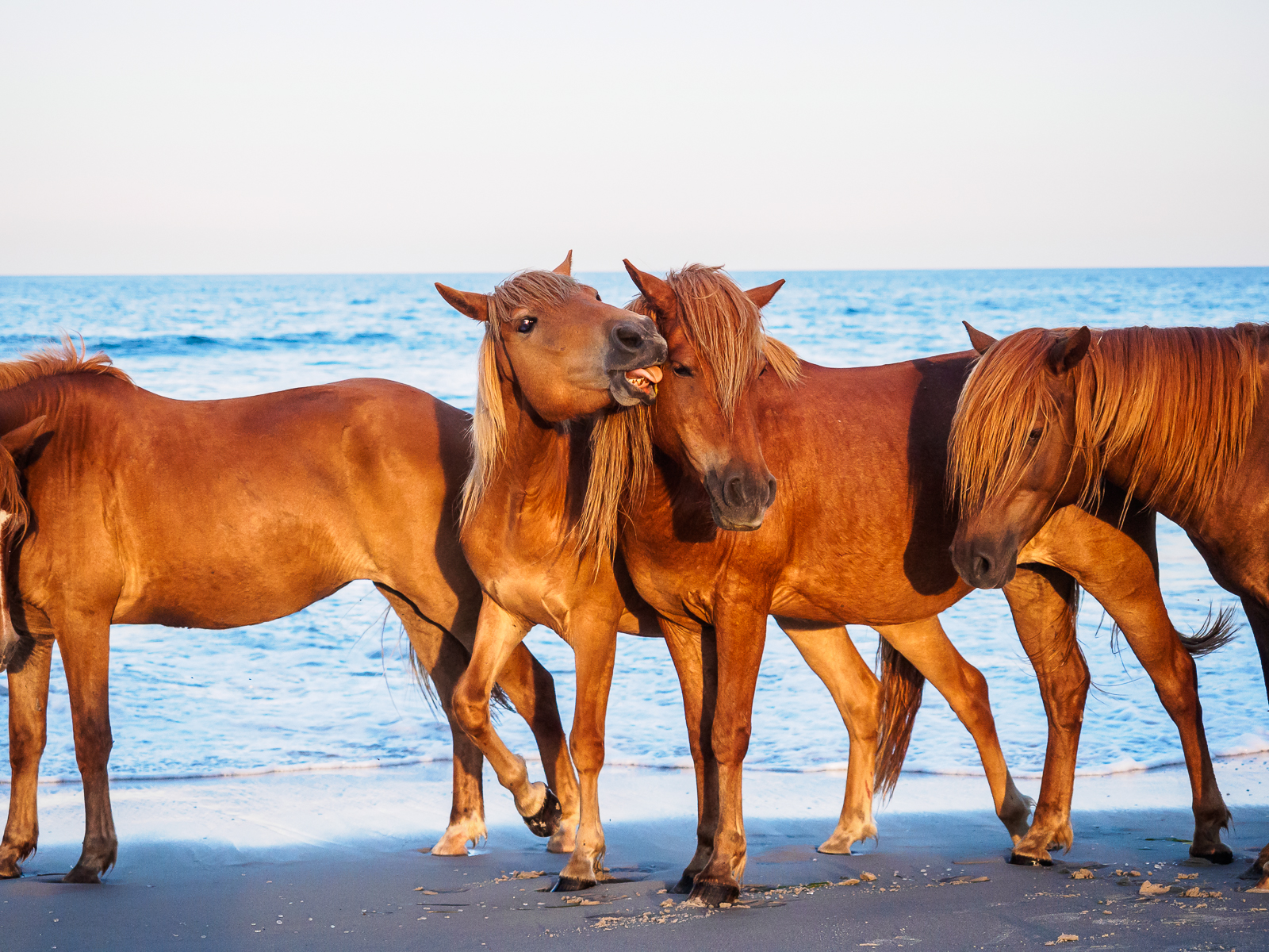 horses-assateague-6340