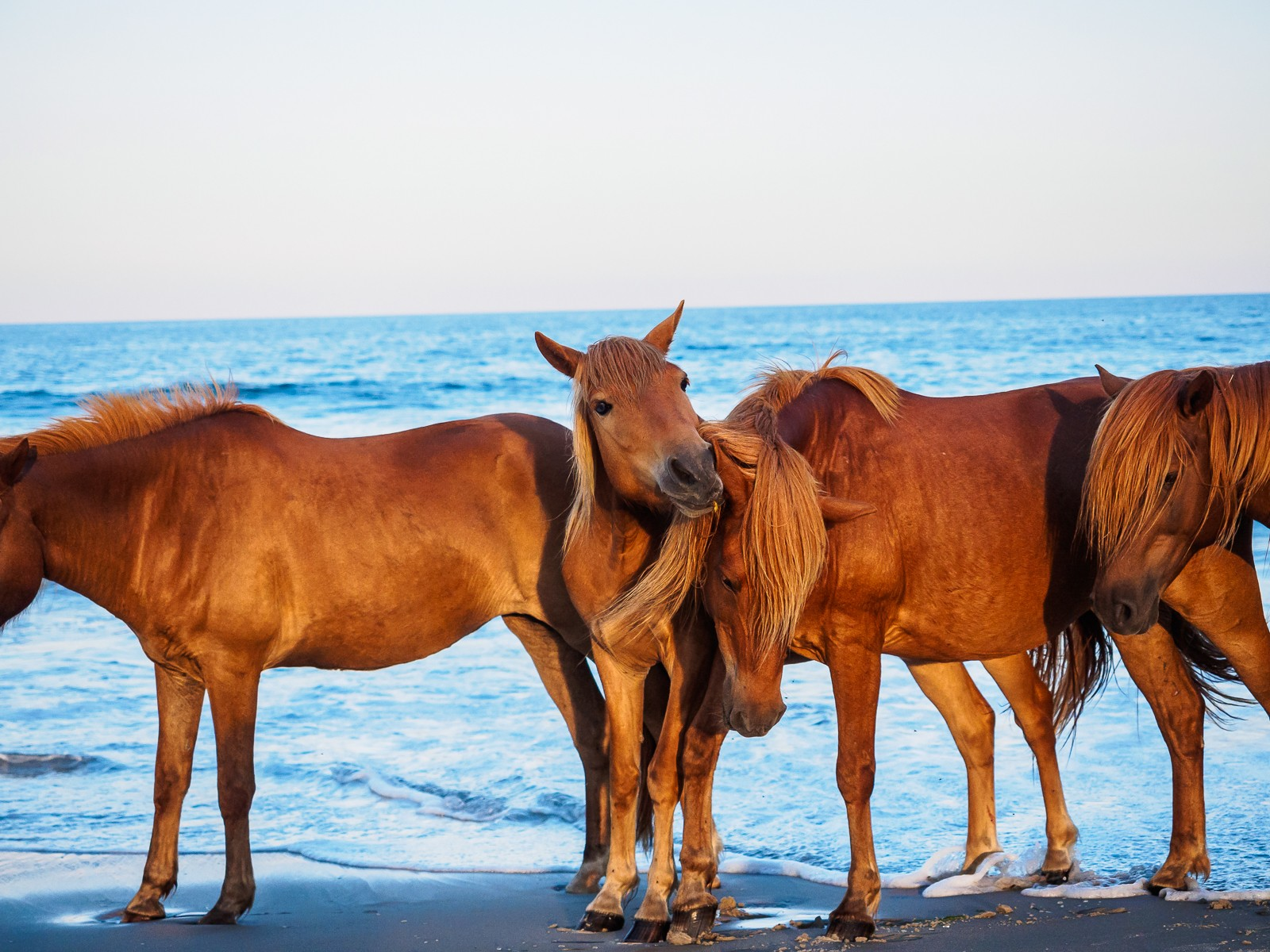 horses-assateague-6343