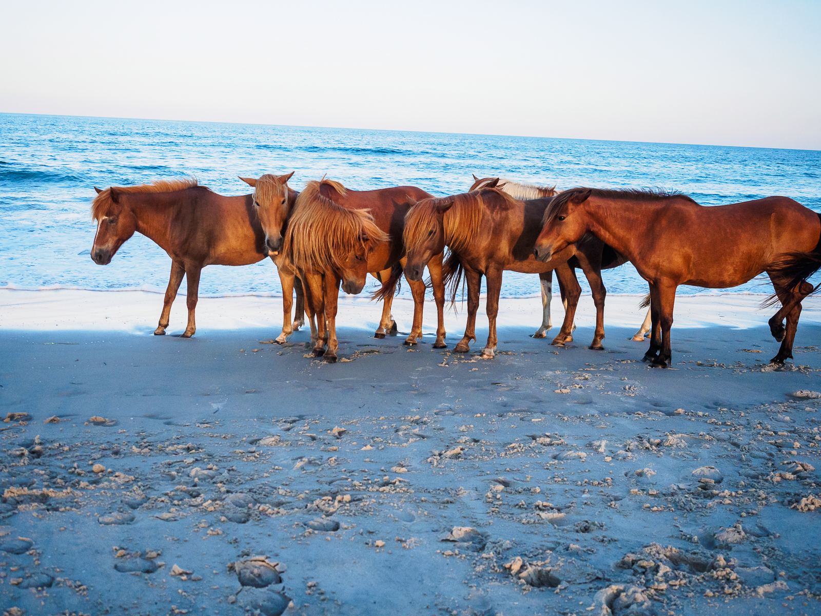 horses-assateague-6347