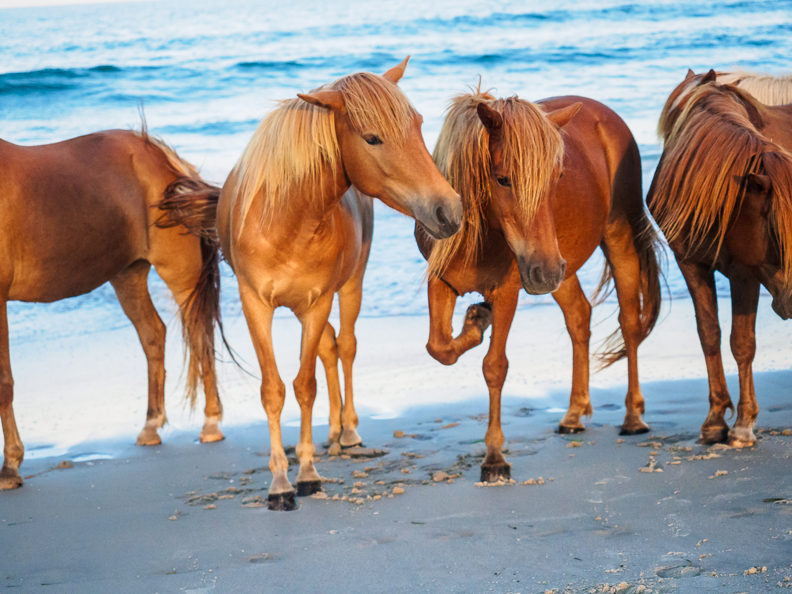 horses-assateague-6357