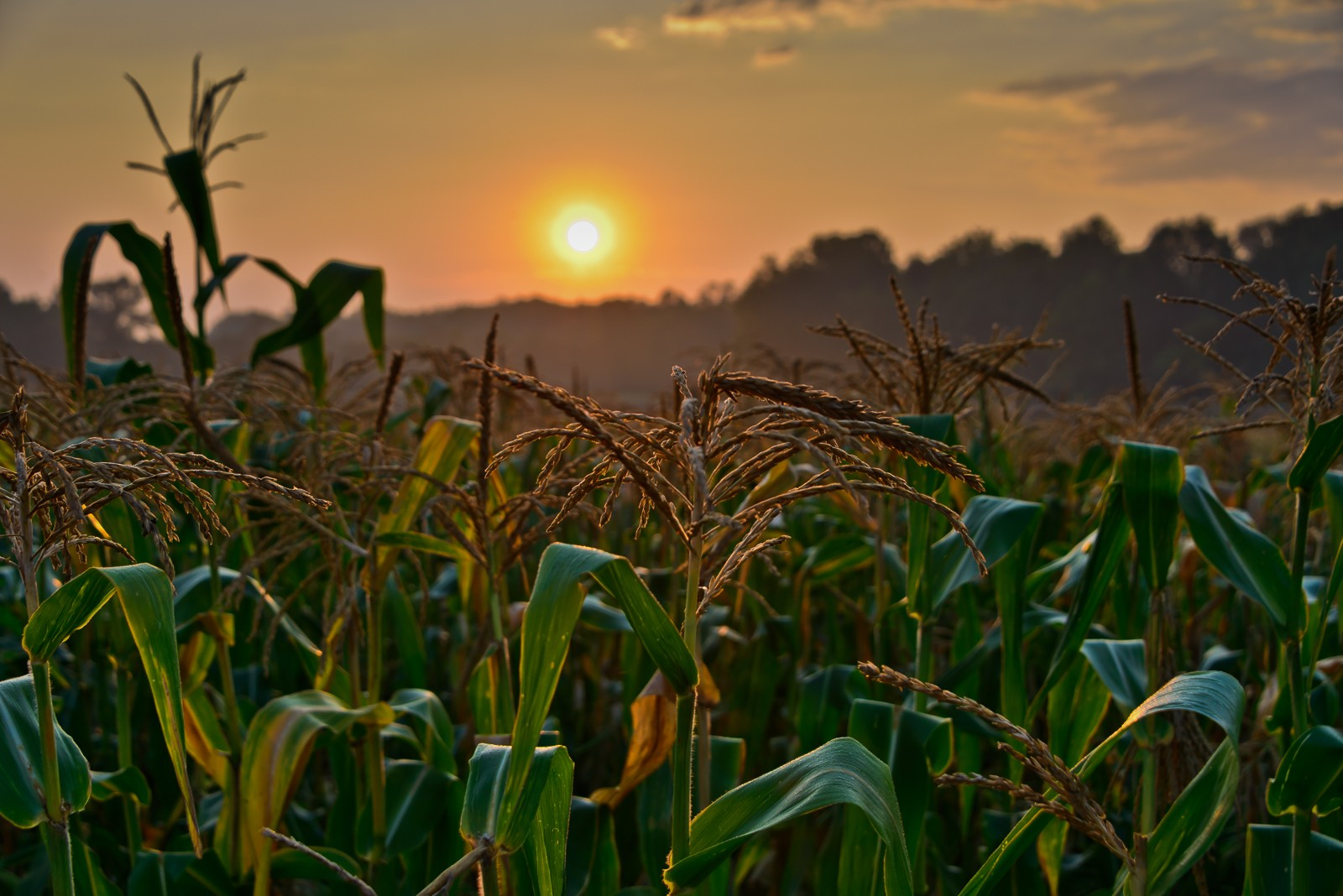 corn-stalks-5002