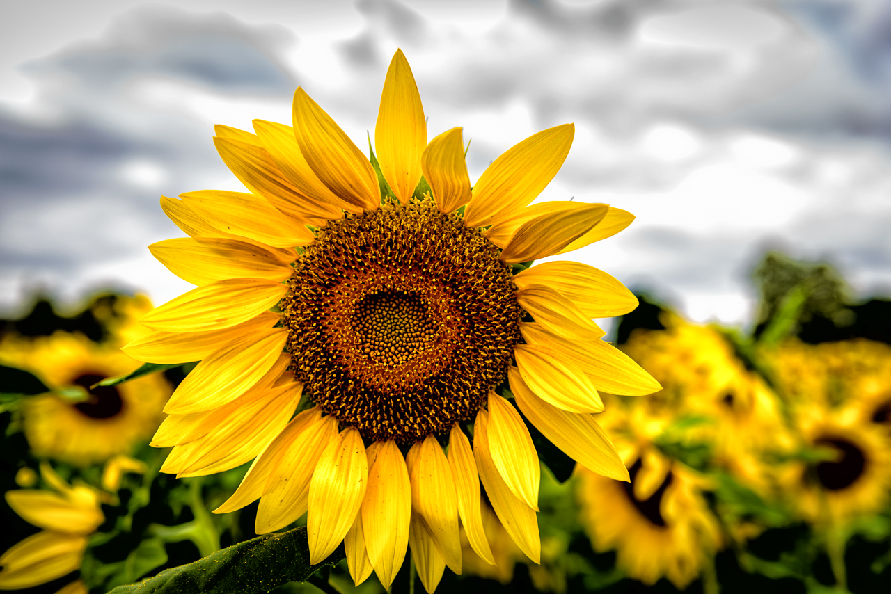 Photograph of a lone sunflower