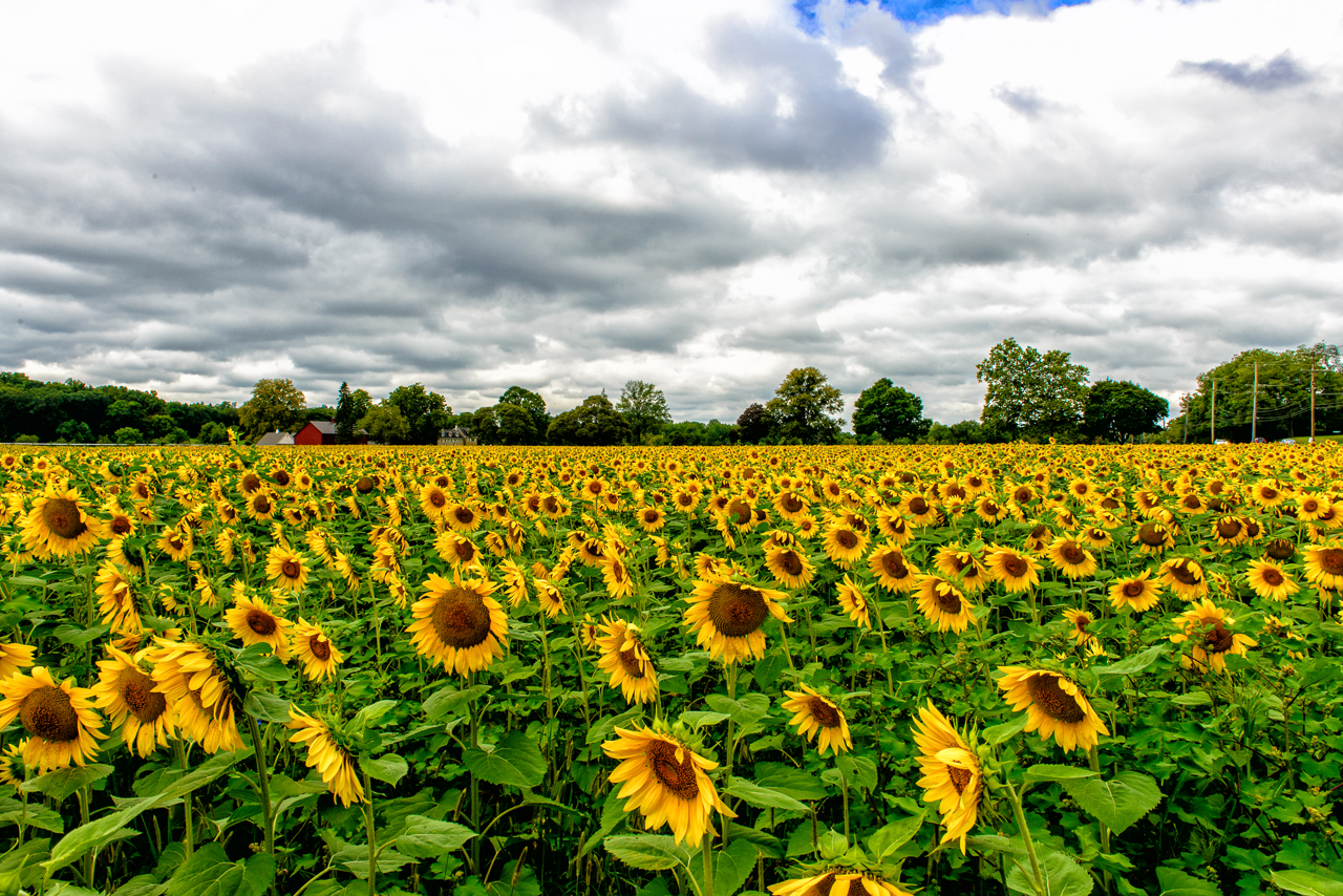 Photograph of a sunflower field
