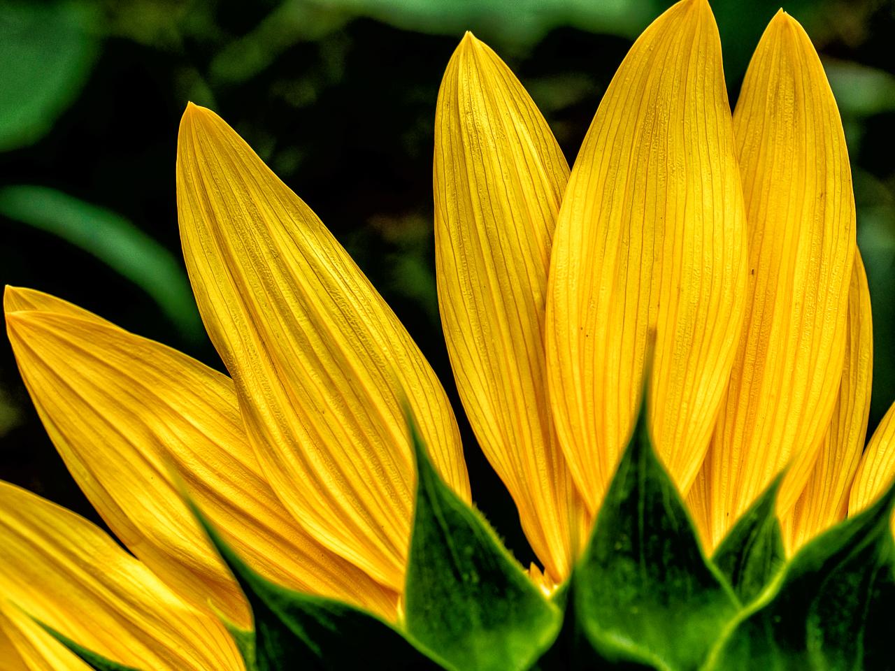 sunflower--4