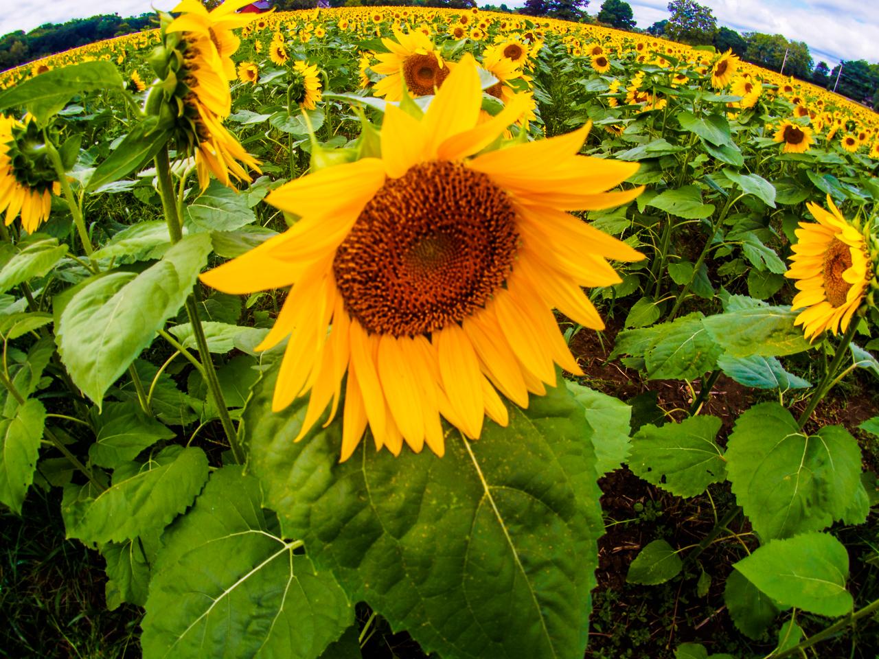 sunflower-7198