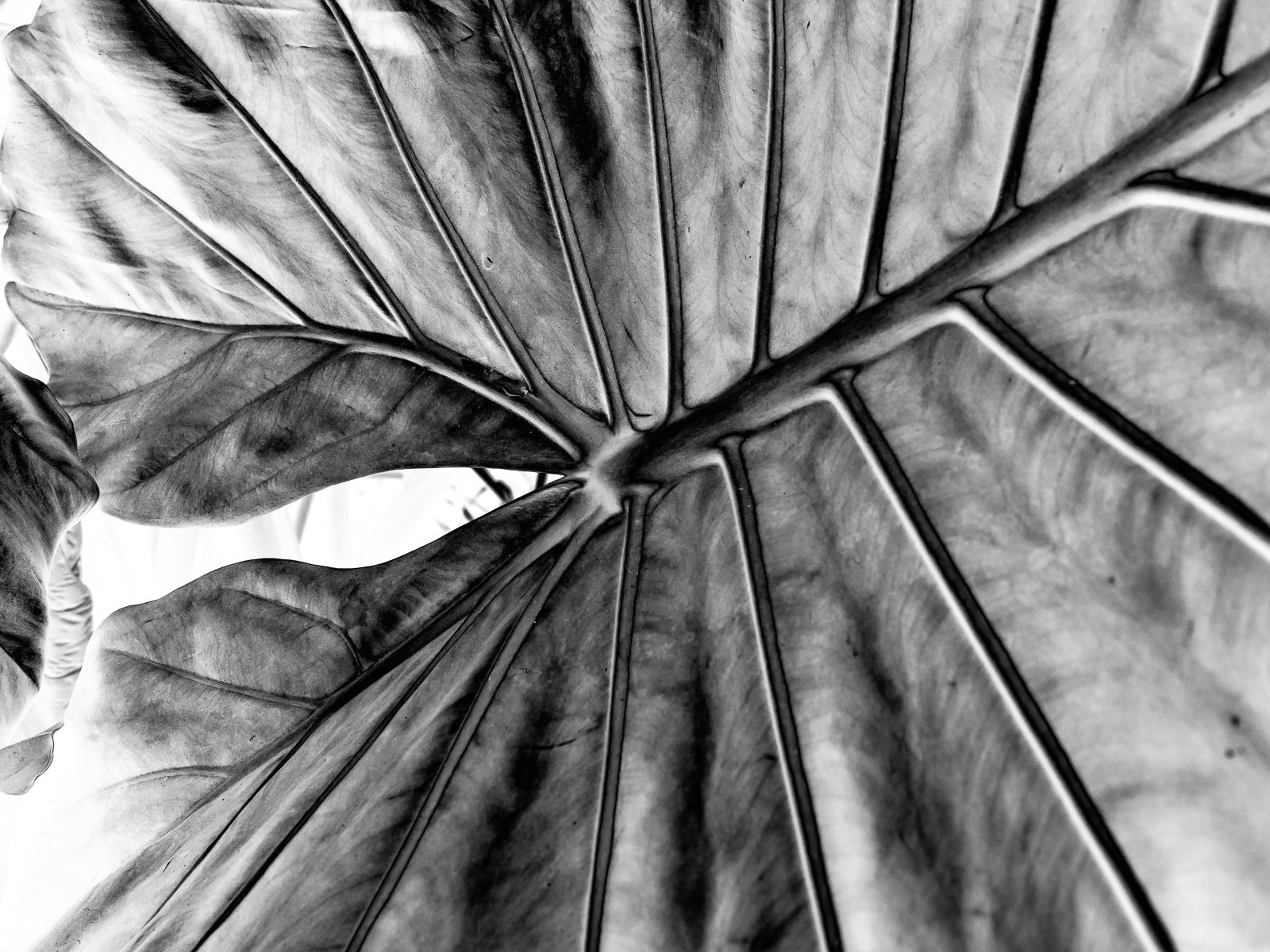 longwood-leaves-2