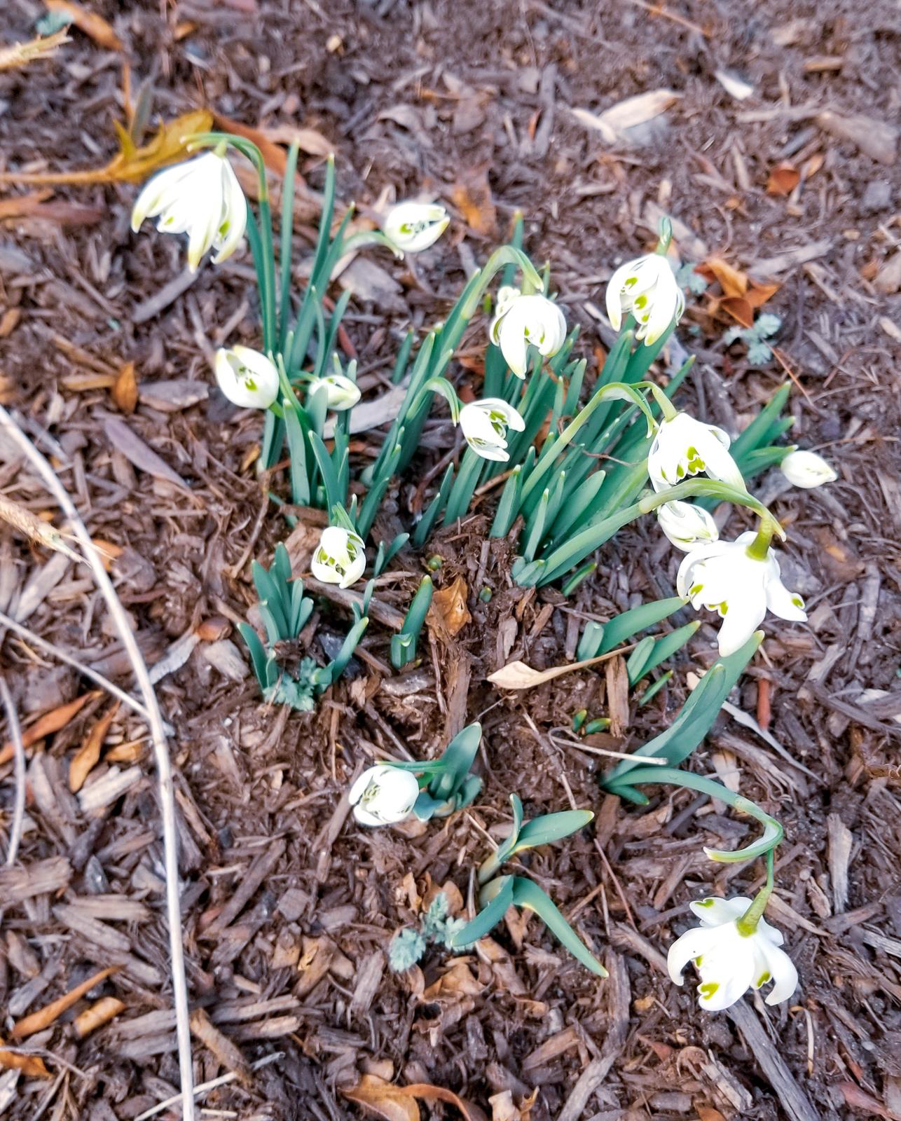 Crocuses Spring Flowers Photos