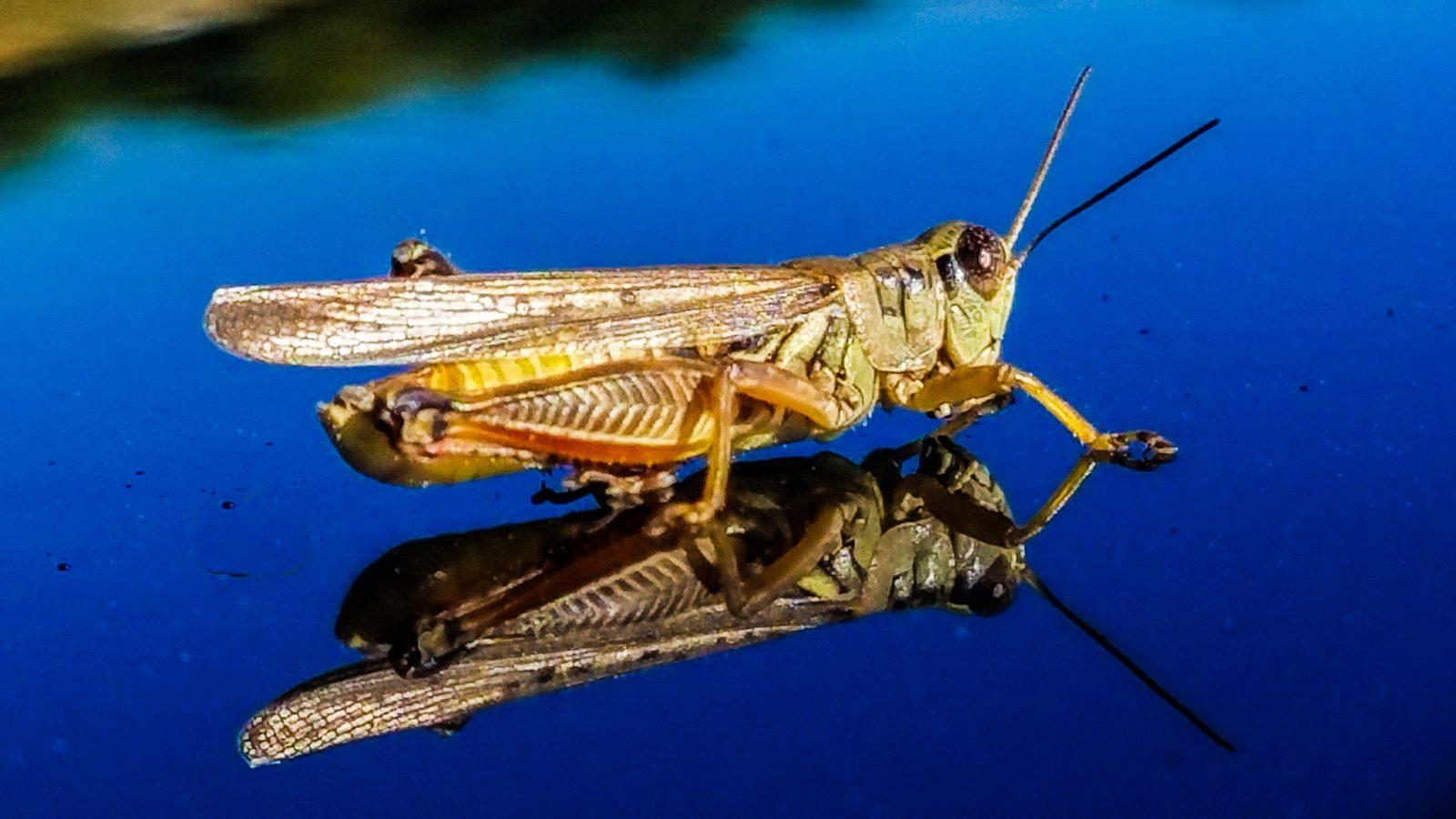 grasshopper-37
