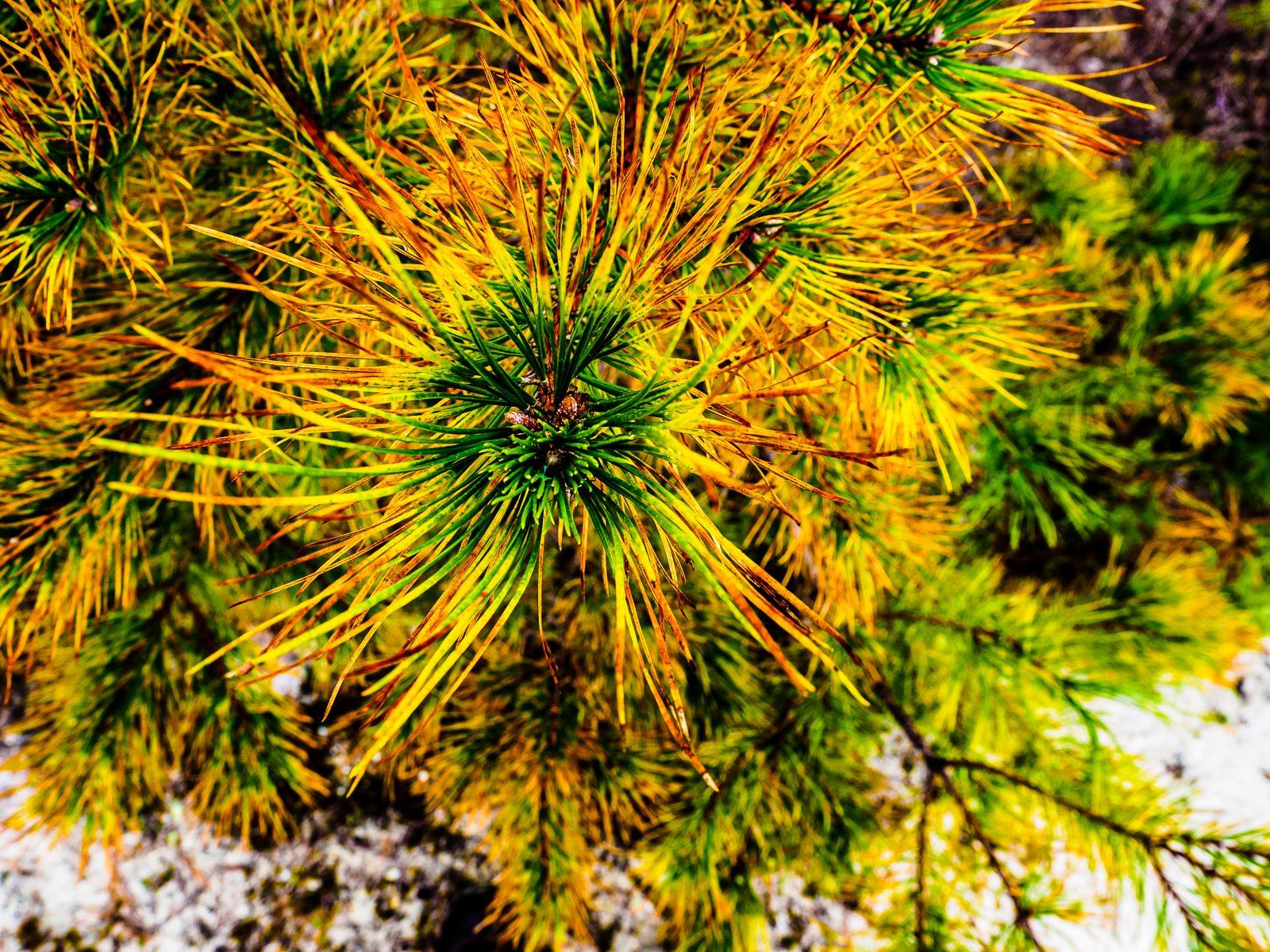 pinelands-needle-color-020055