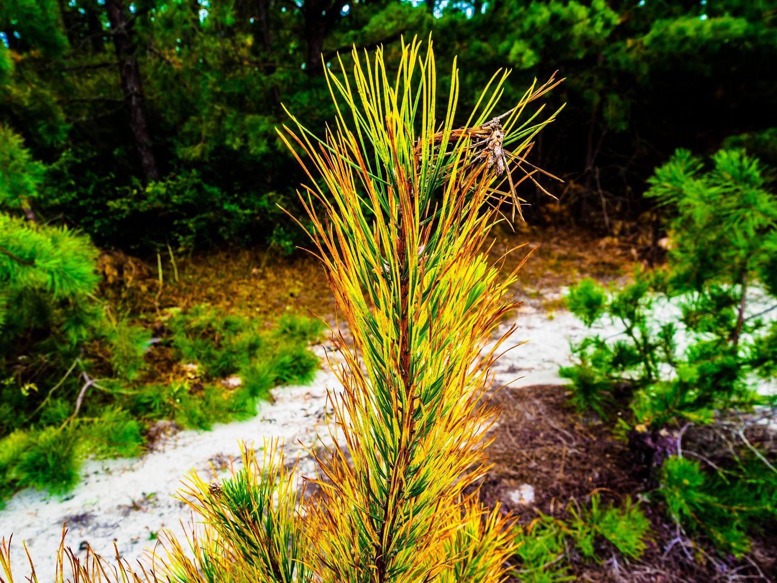pinelands-needle-color-020056