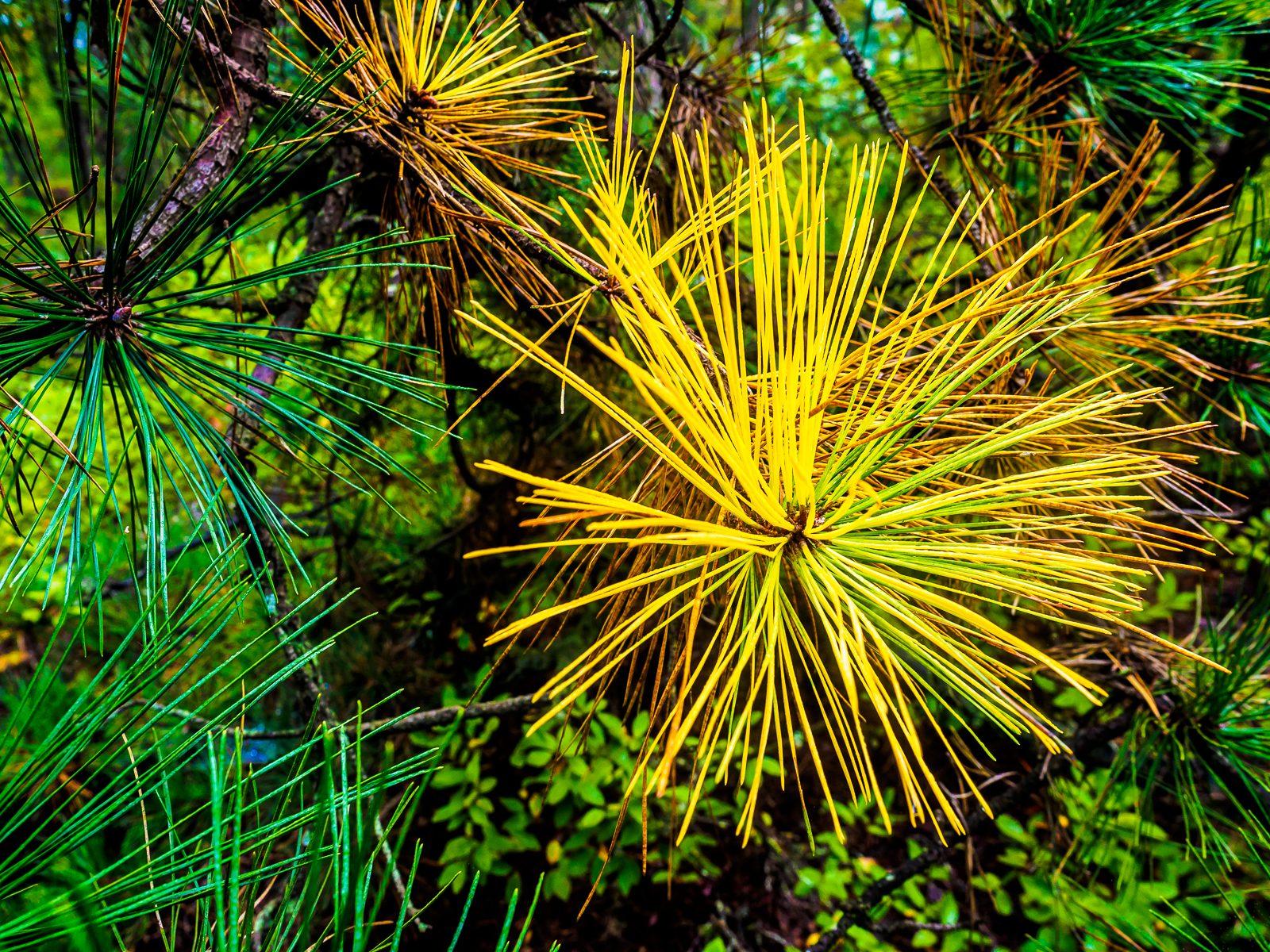 pinelands-needle-color-020059