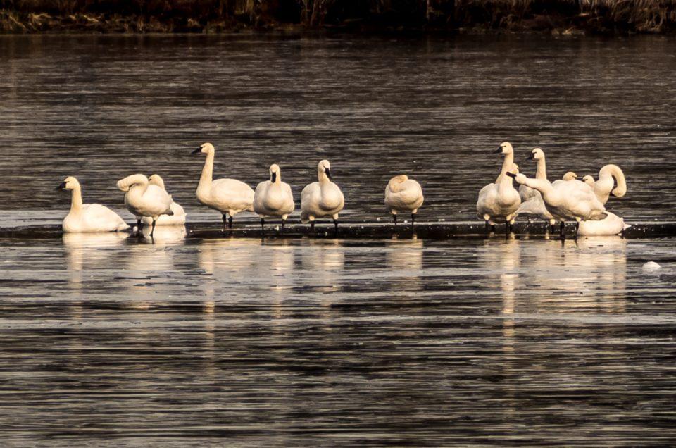 tundra-swans-210017-2