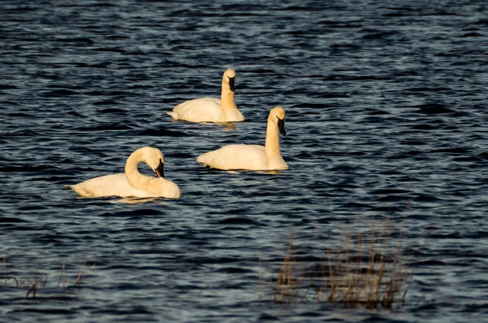 tundra swans whites bog NJ