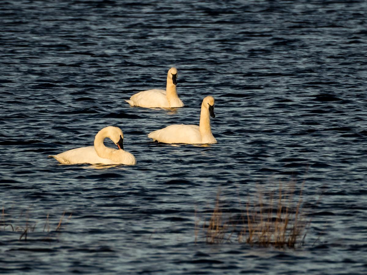 tundra-swans-310104