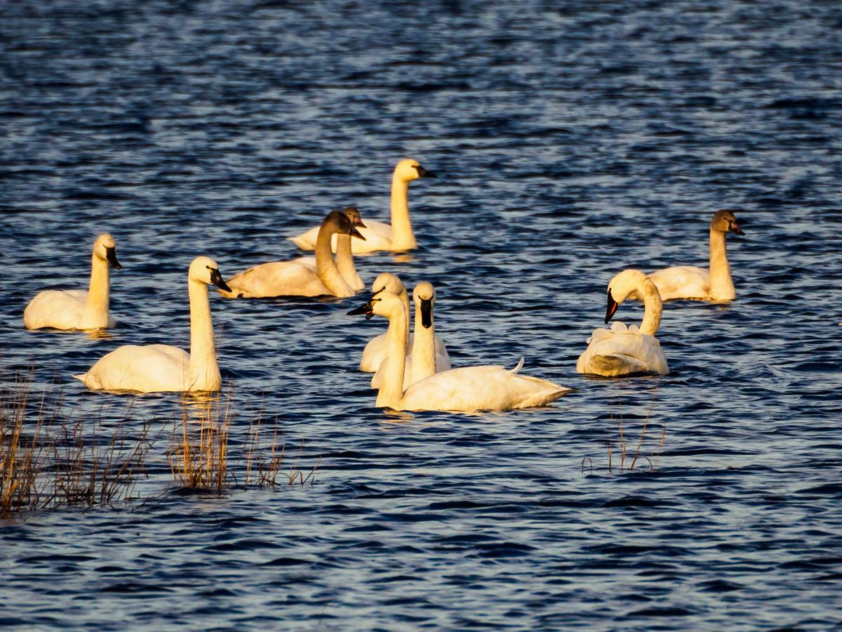 tundra-swans-310115