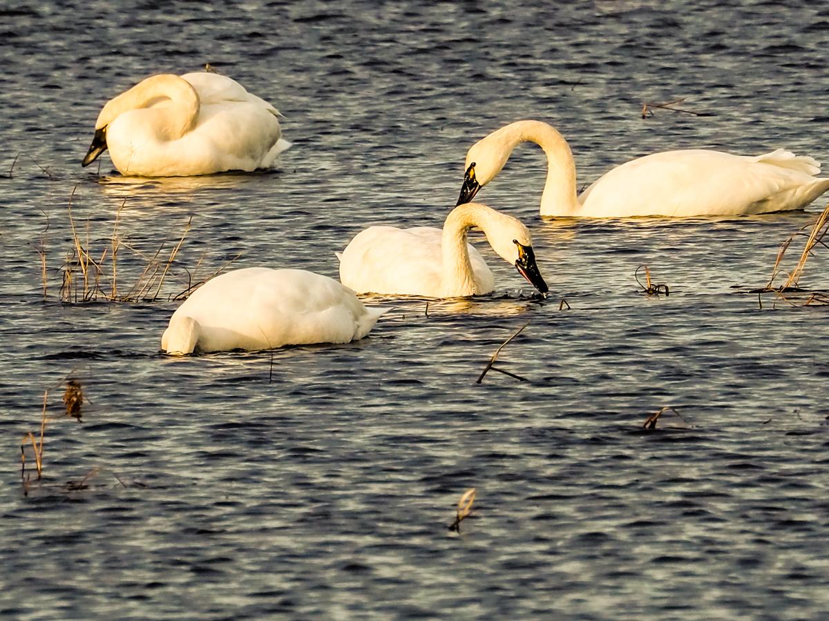 tundra-swans-310138