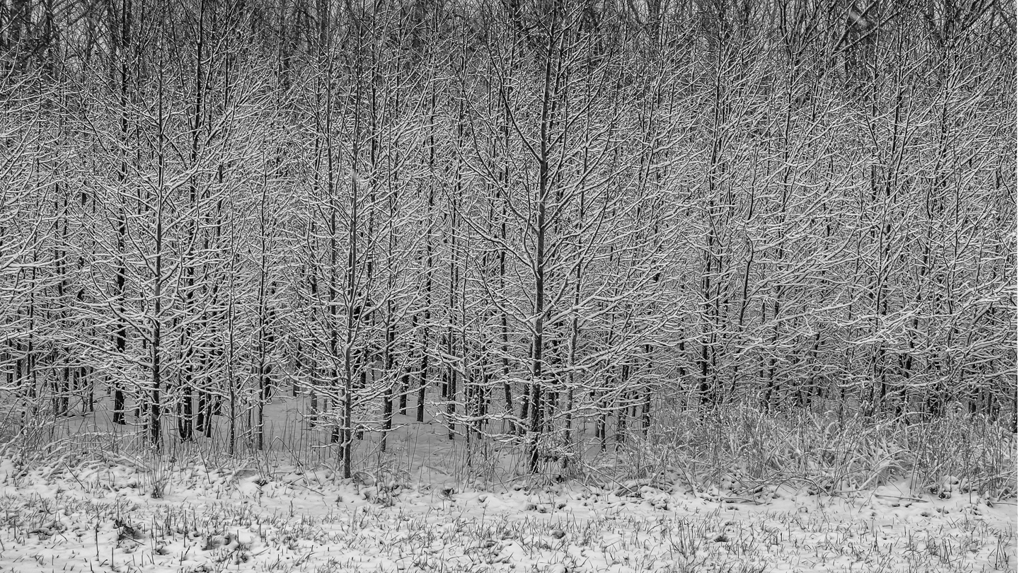 tree-row-snow-