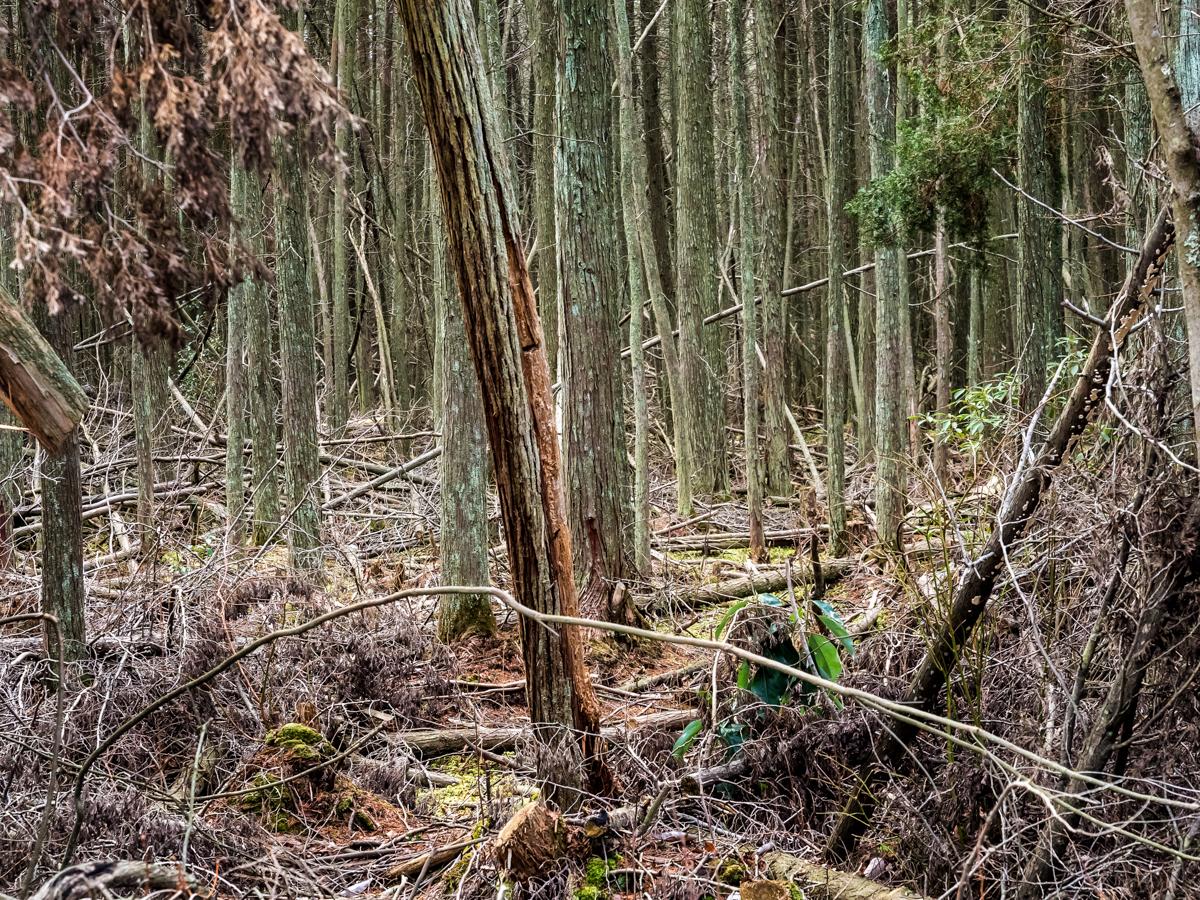 cedar-swamp--2