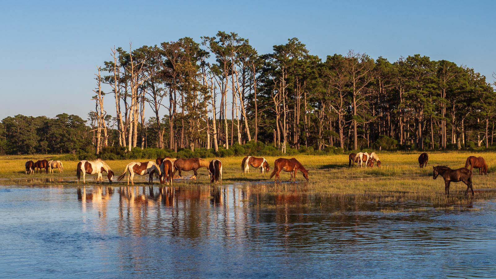 chincoteague Island ponies photo