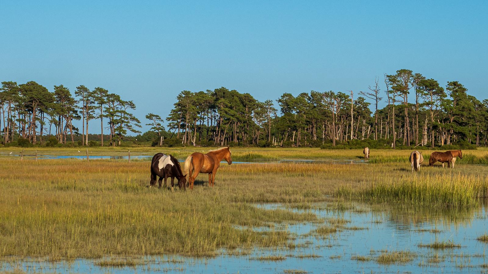 chincoteague Island ponies -2 photo