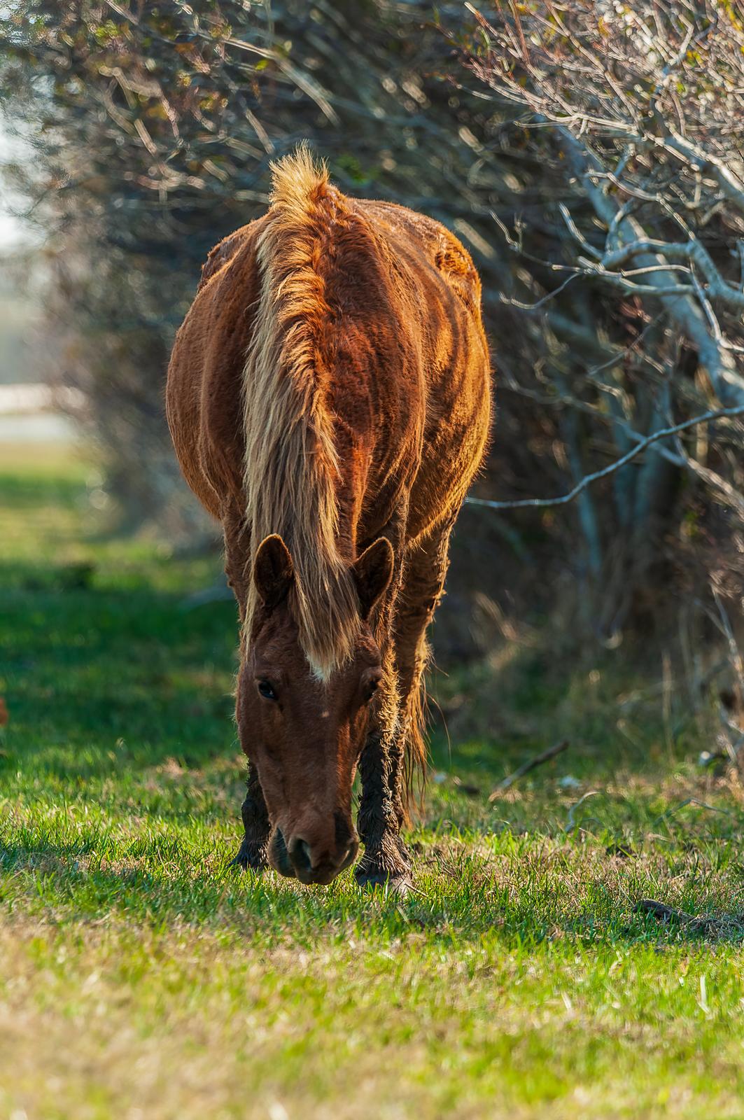 chincoteague ponies photographs