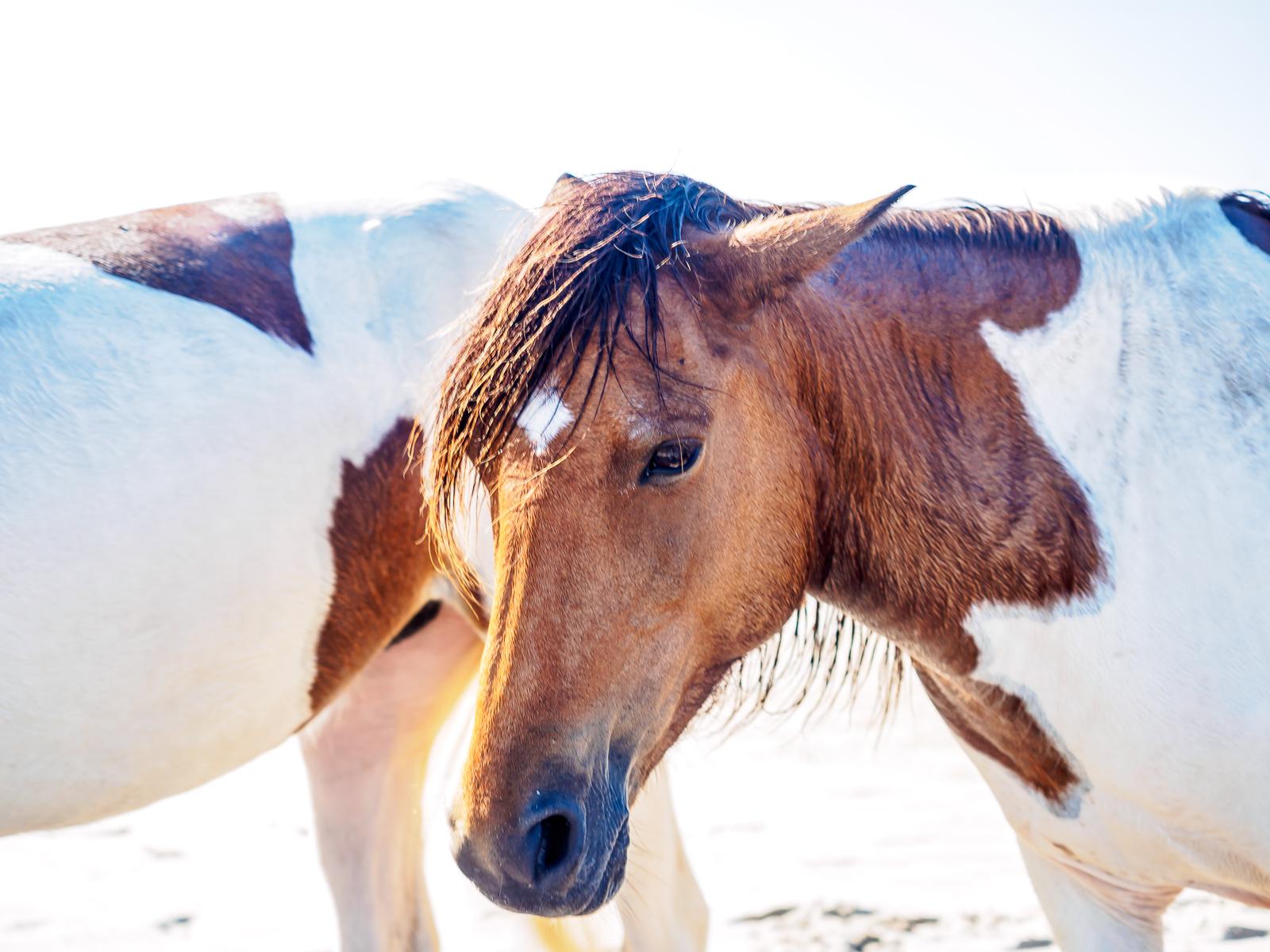 Assateague Island, ponies headshot photo