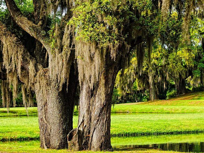 Spanish moss at Middleton- plantation-photo--2