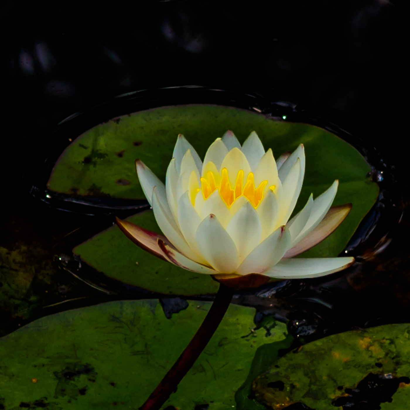 waterlily-white-8270013