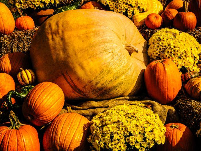 Photograph of a pumpkins-patch-3839