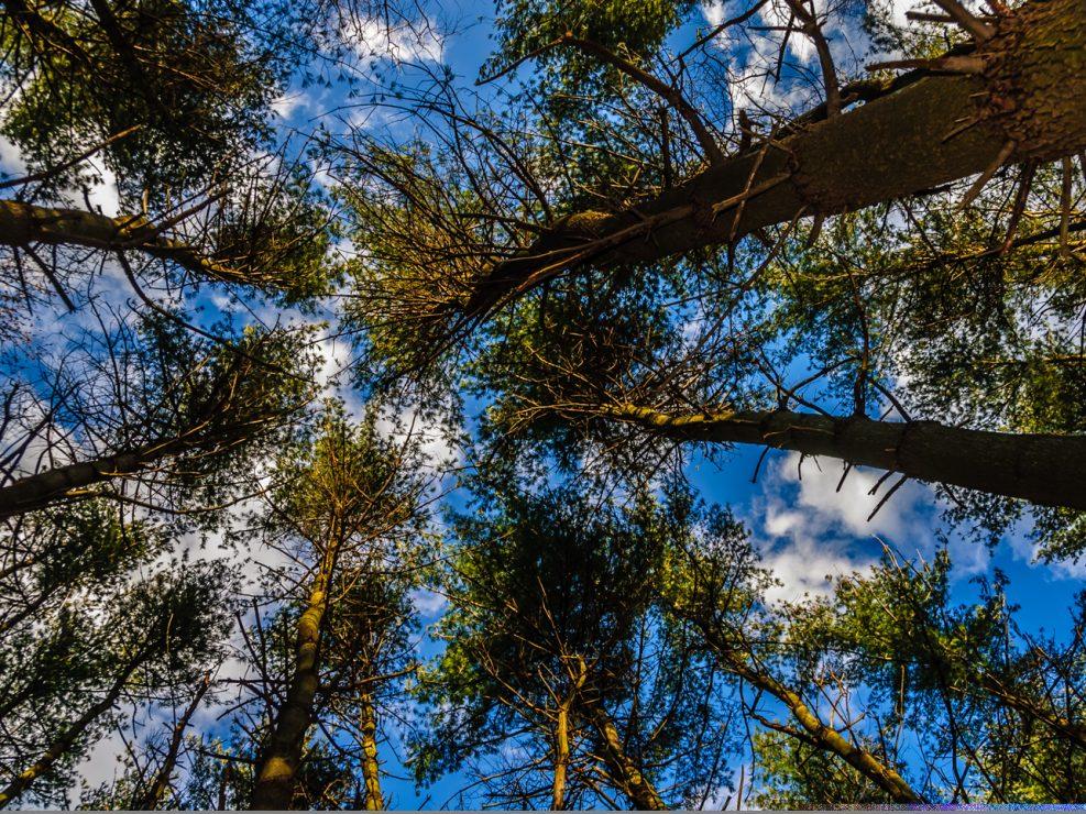 trees-pine-photo