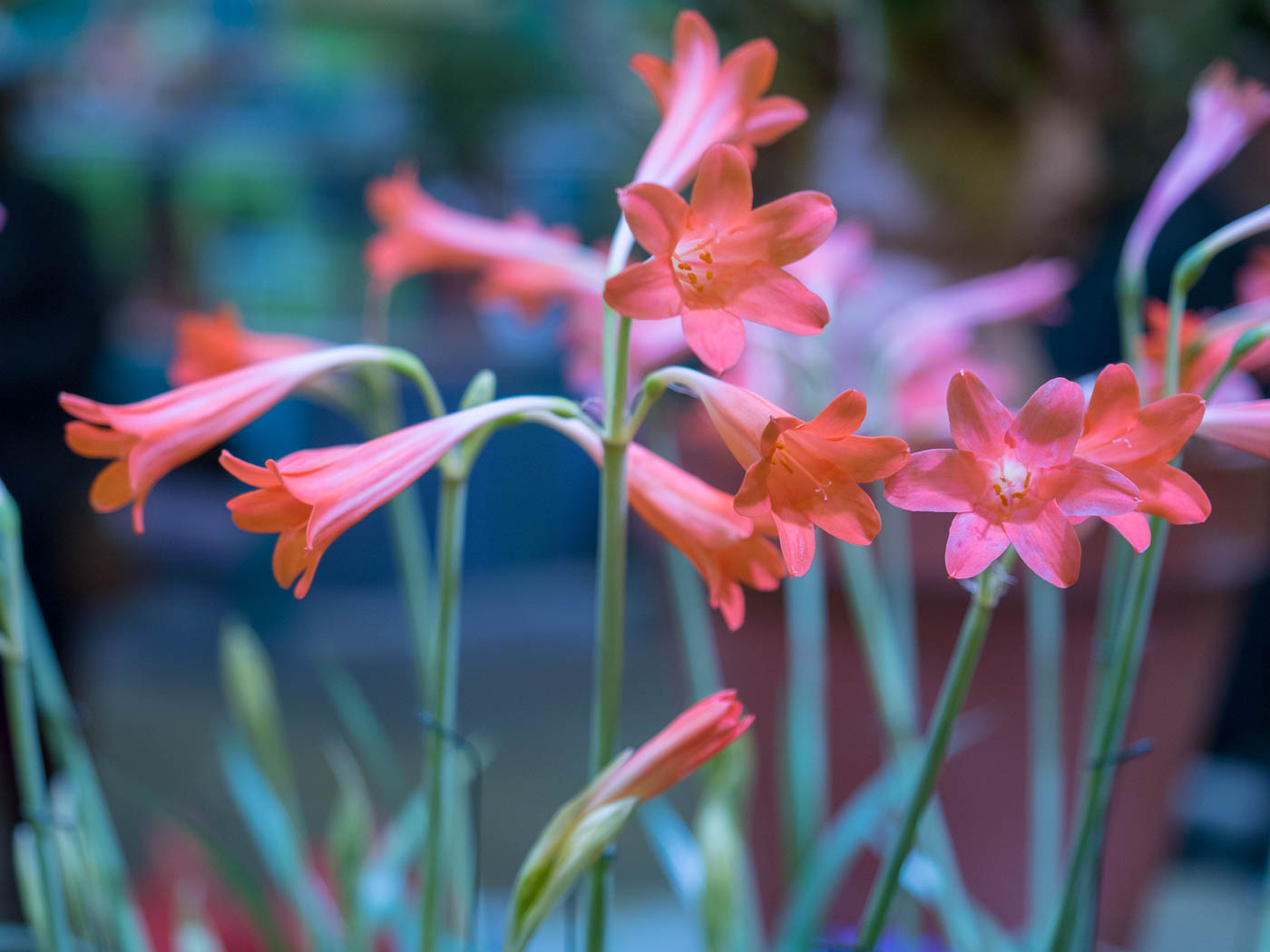 Photograph of beautiful pink flowers from the Philadelphia show
