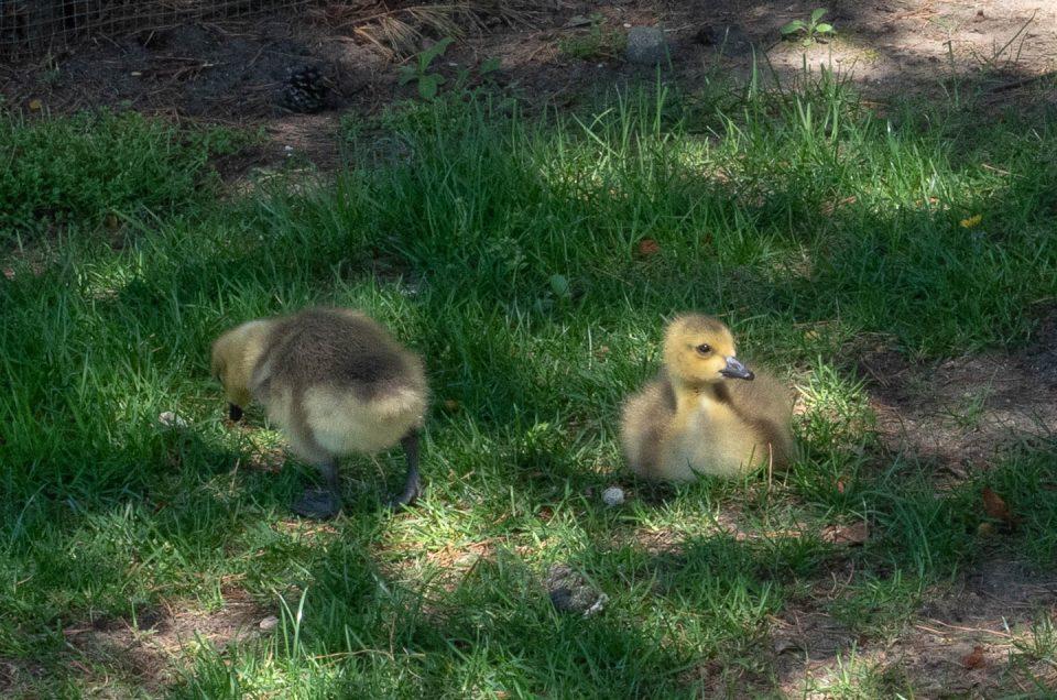 goose-babies-2