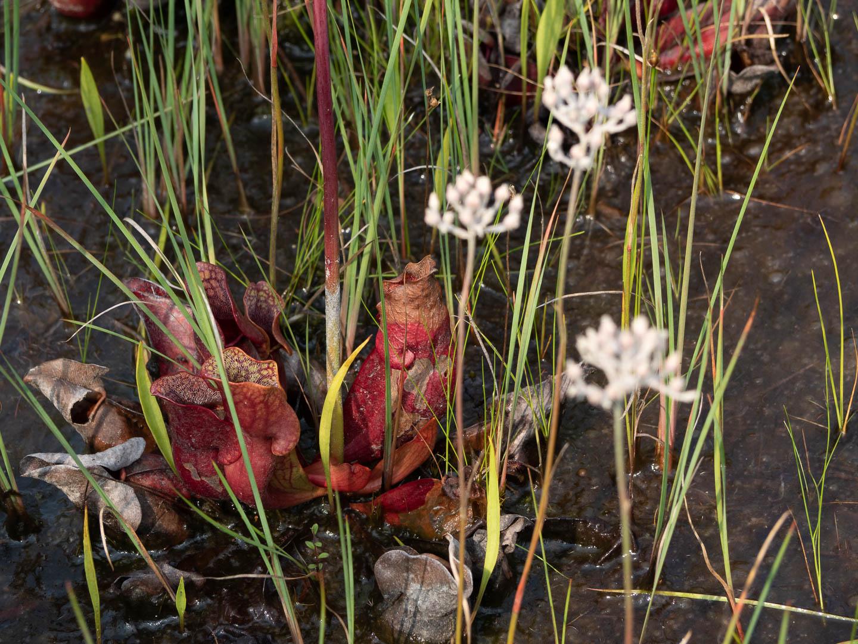 webb-mills-bog-pine-lands-13