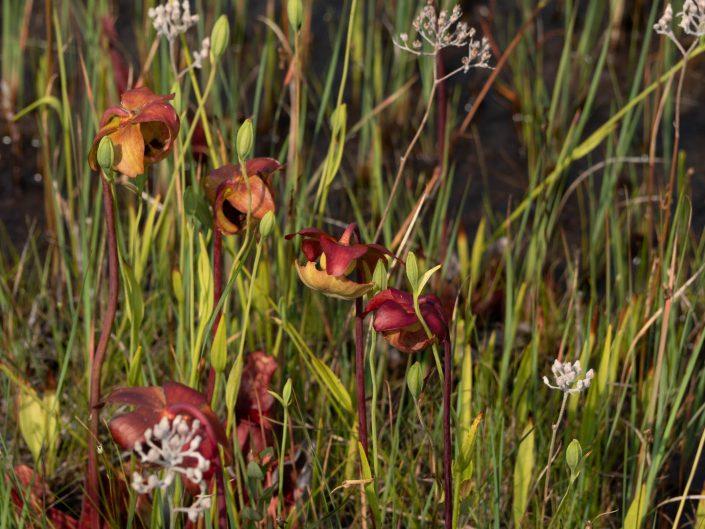 webb-mills-bog-pine-lands-12