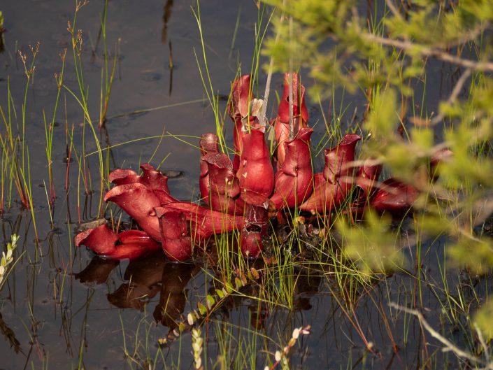 pitcher-plant-webb-mills-bog