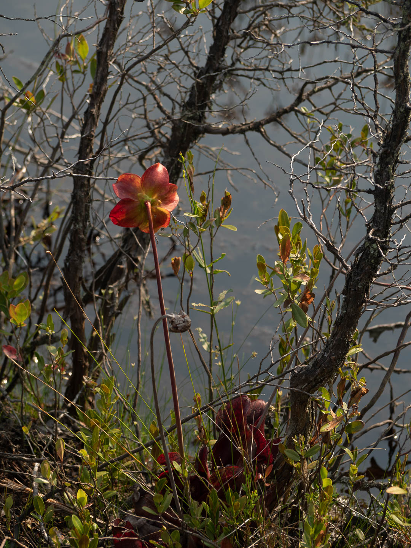 webb-mills-bog-pine-lands-7
